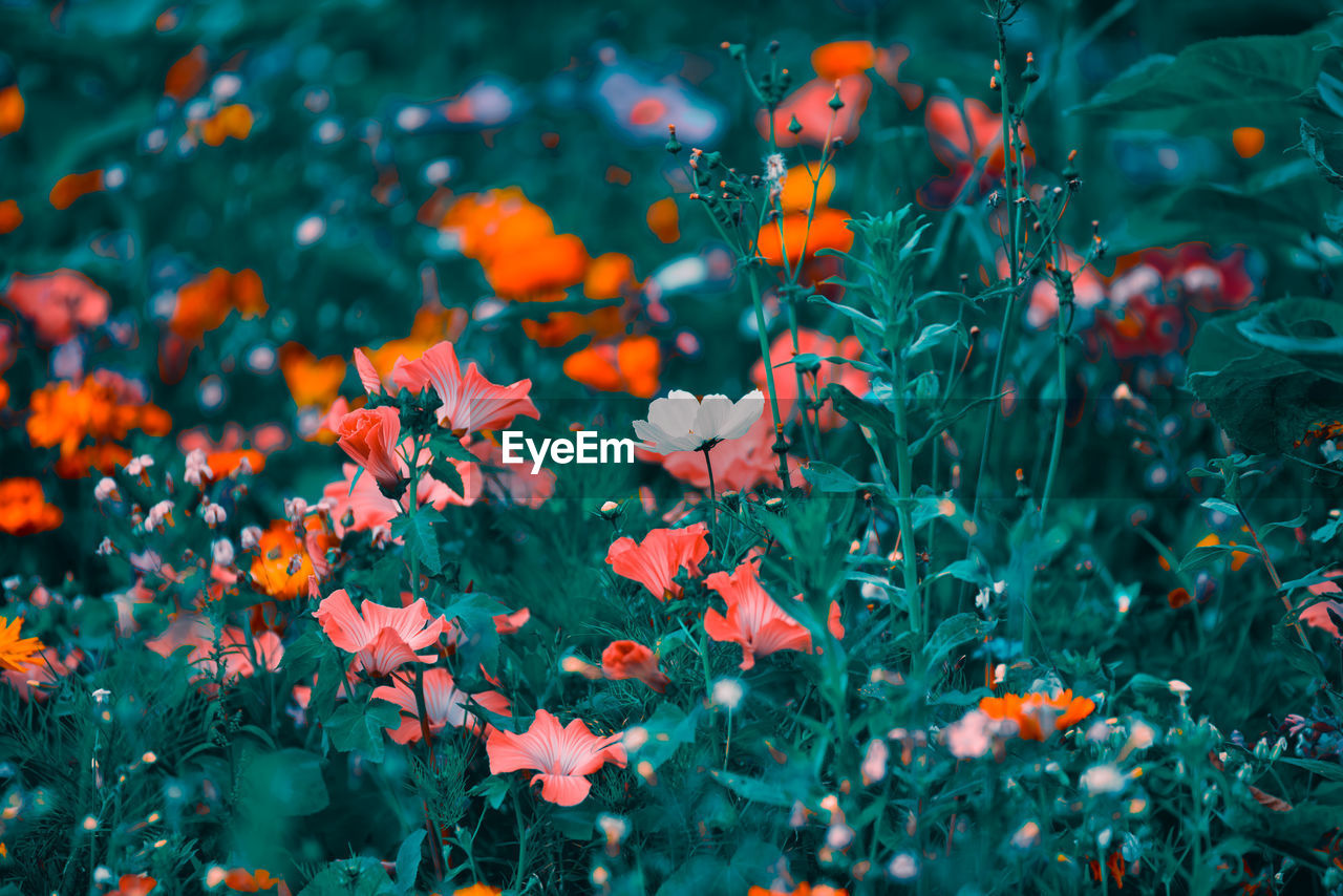 flowering plant, flower, plant, growth, freshness, vulnerability, beauty in nature, fragility, petal, nature, close-up, flower head, selective focus, no people, day, inflorescence, orange color, green color, outdoors, red, flowerbed