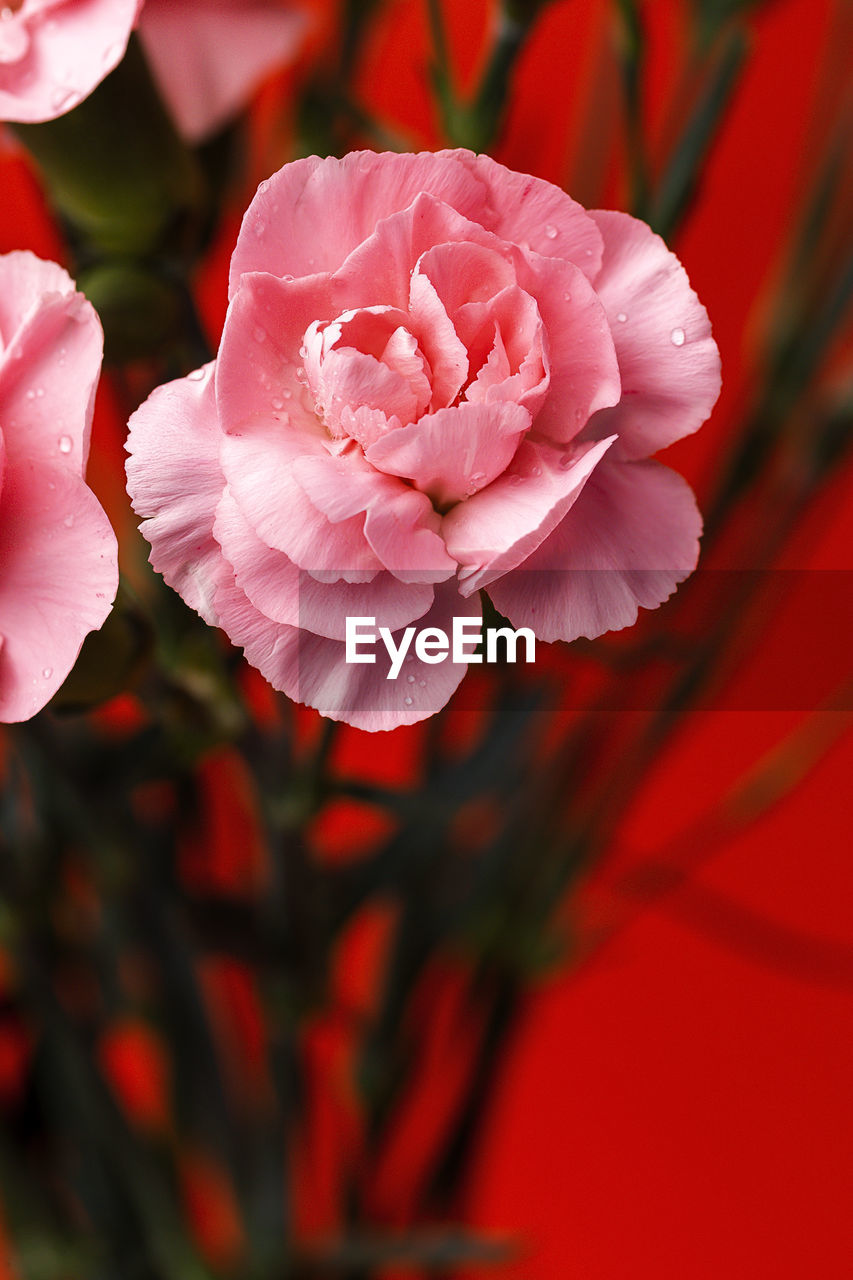 flower, beauty in nature, flowering plant, plant, petal, vulnerability, fragility, close-up, freshness, inflorescence, flower head, pink color, growth, nature, red, no people, focus on foreground, rose, day