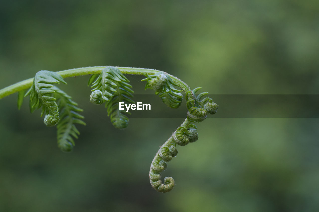 green color, nature, growth, plant, beauty in nature, no people, focus on foreground, fern, outdoors, day, fragility, leaf, close-up, freshness