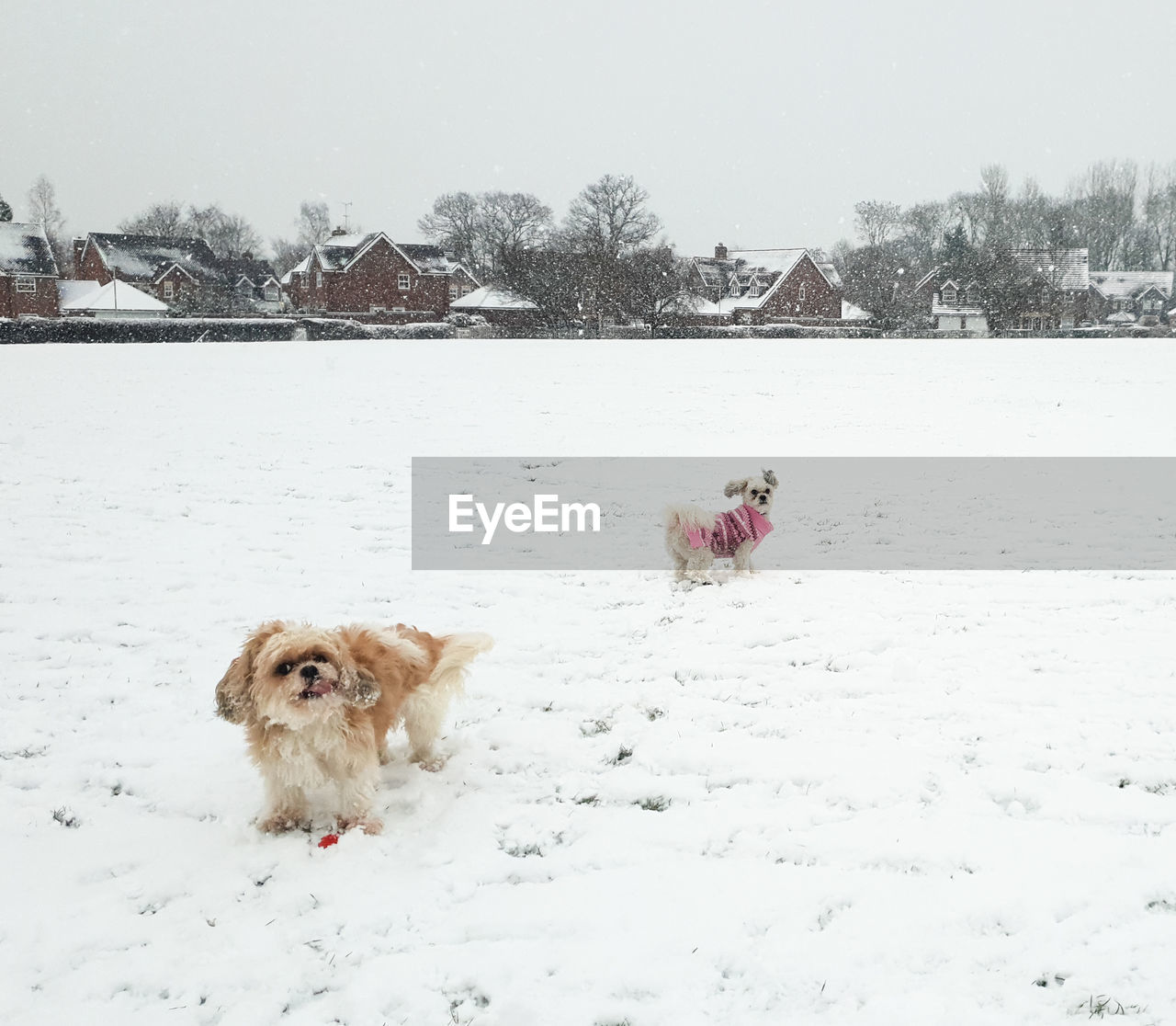 snow, cold temperature, winter, dog, canine, mammal, pets, domestic, animal themes, animal, domestic animals, one animal, vertebrate, nature, field, covering, white color, day, no people, outdoors, snowing