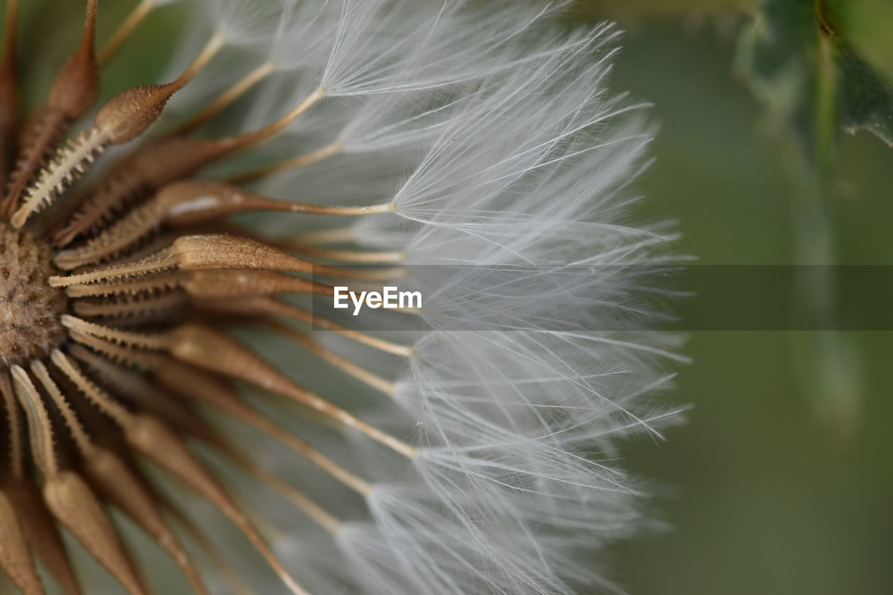 close-up, vulnerability, fragility, plant, beauty in nature, selective focus, growth, flower, no people, nature, freshness, flowering plant, inflorescence, flower head, day, focus on foreground, softness, white color, outdoors, dandelion seed