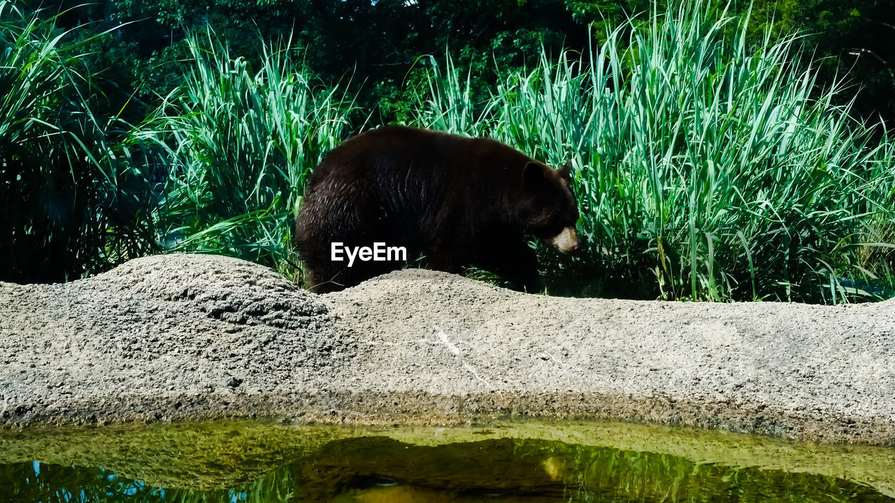 animal, animal themes, one animal, mammal, vertebrate, animal wildlife, animals in the wild, no people, bear, nature, plant, water, day, grass, relaxation, green color, domestic animals, pets, outdoors