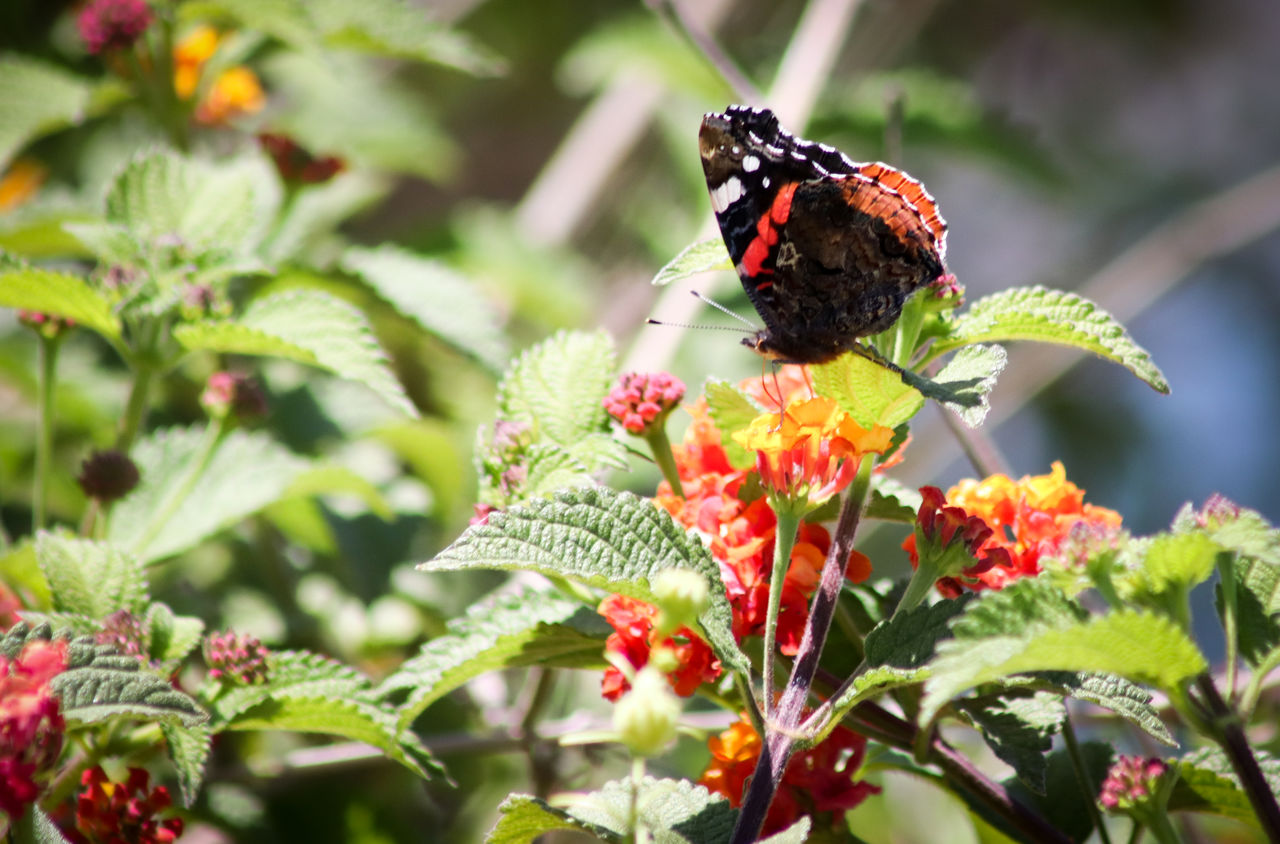 plant, invertebrate, animal themes, insect, animal wildlife, beauty in nature, animal, animals in the wild, growth, one animal, flower, butterfly - insect, flowering plant, animal wing, plant part, leaf, freshness, close-up, vulnerability, focus on foreground, flower head, pollination, no people, lantana, butterfly