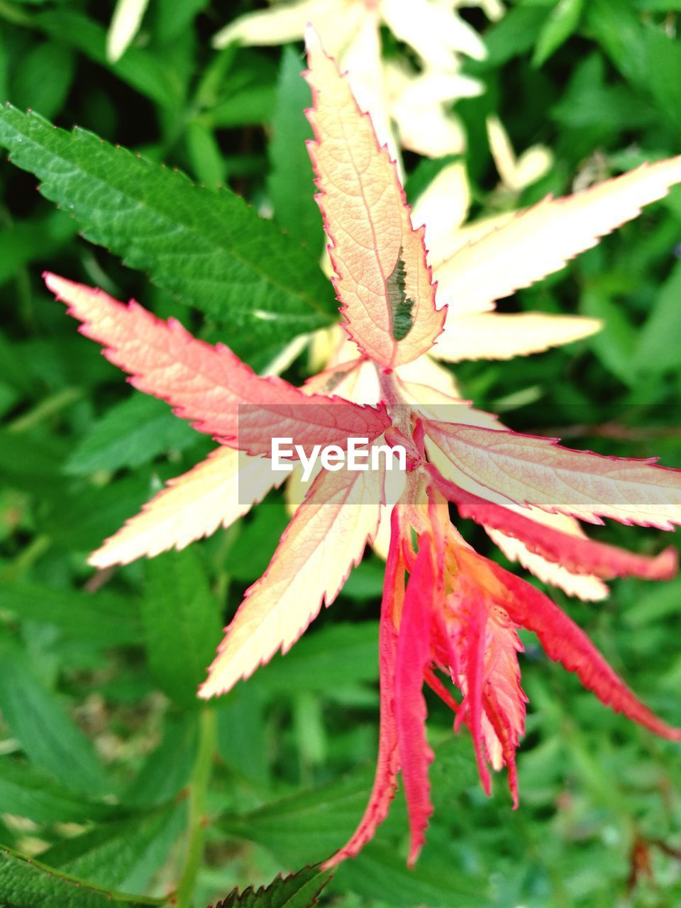 plant part, leaf, plant, close-up, growth, beauty in nature, nature, no people, day, autumn, vulnerability, fragility, change, focus on foreground, red, leaves, outdoors, land, maple leaf, freshness