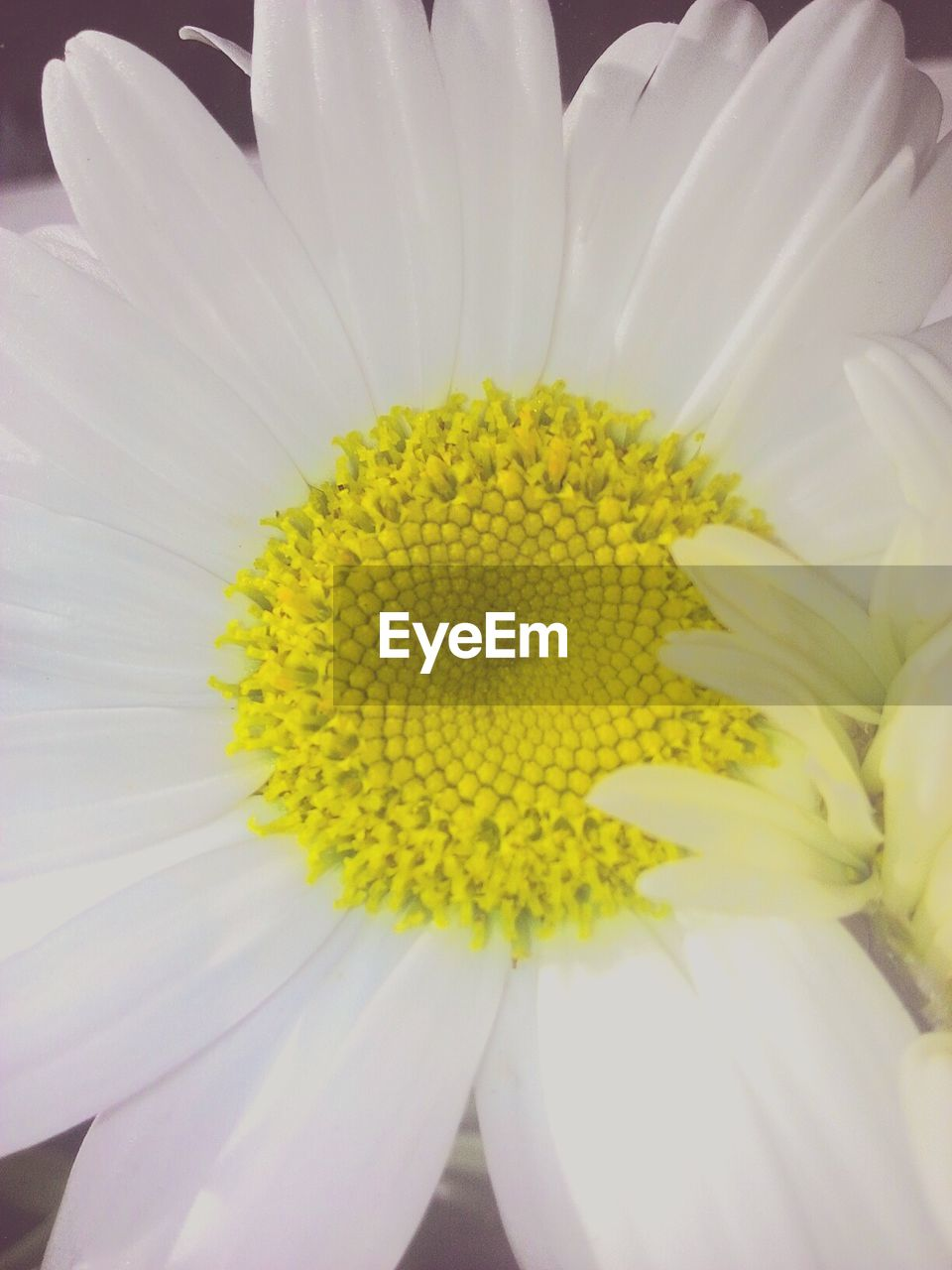 flower, petal, fragility, flower head, yellow, freshness, beauty in nature, nature, white color, growth, pollen, close-up, no people, plant, blooming, day, outdoors, springtime