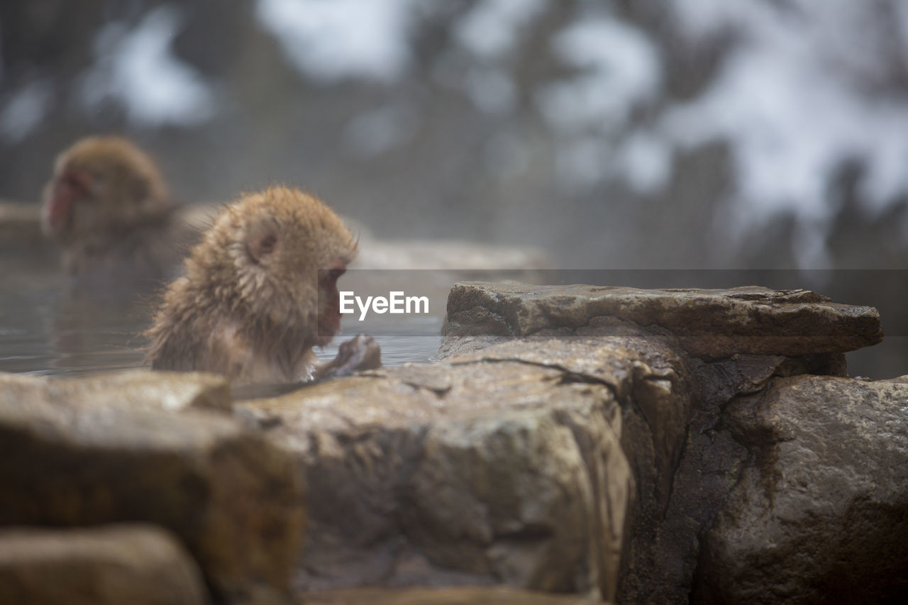 monkey, rock, animal themes, animal, primate, mammal, rock - object, animals in the wild, solid, animal wildlife, group of animals, vertebrate, two animals, focus on foreground, day, nature, no people, selective focus, japanese macaque, rock formation, animal family, baboon