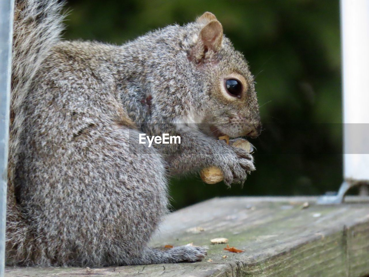 animal themes, mammal, animal, animal wildlife, animals in the wild, one animal, rodent, squirrel, close-up, focus on foreground, eating, no people, vertebrate, day, food, nature, outdoors, food and drink, side view, nut, whisker