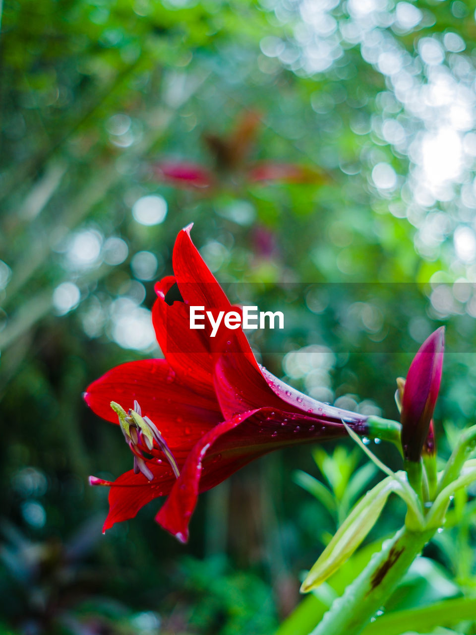 red, flower, petal, growth, nature, fragility, beauty in nature, plant, freshness, close-up, no people, flower head, day, outdoors, blooming, day lily