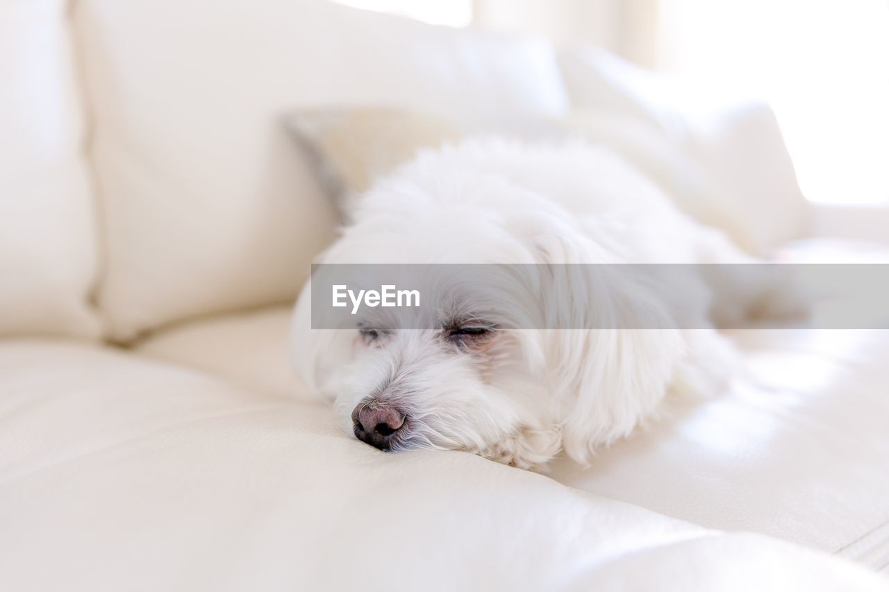 domestic, pets, dog, canine, domestic animals, one animal, white color, animal themes, mammal, furniture, relaxation, animal, indoors, vertebrate, resting, no people, bed, lying down, close-up, sofa, animal head