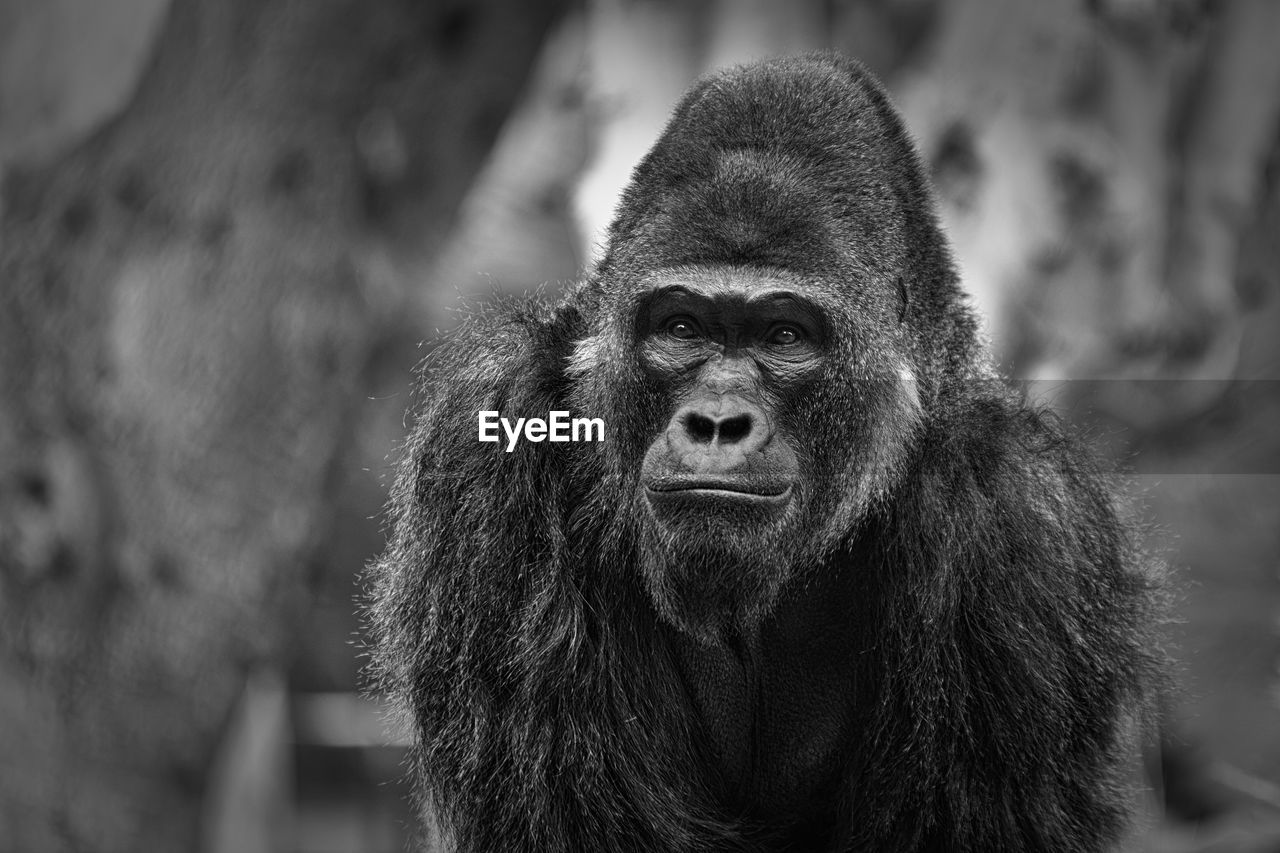 primate, mammal, animal wildlife, focus on foreground, one animal, ape, animals in the wild, vertebrate, portrait, close-up, people, day, looking, looking at camera, gorilla