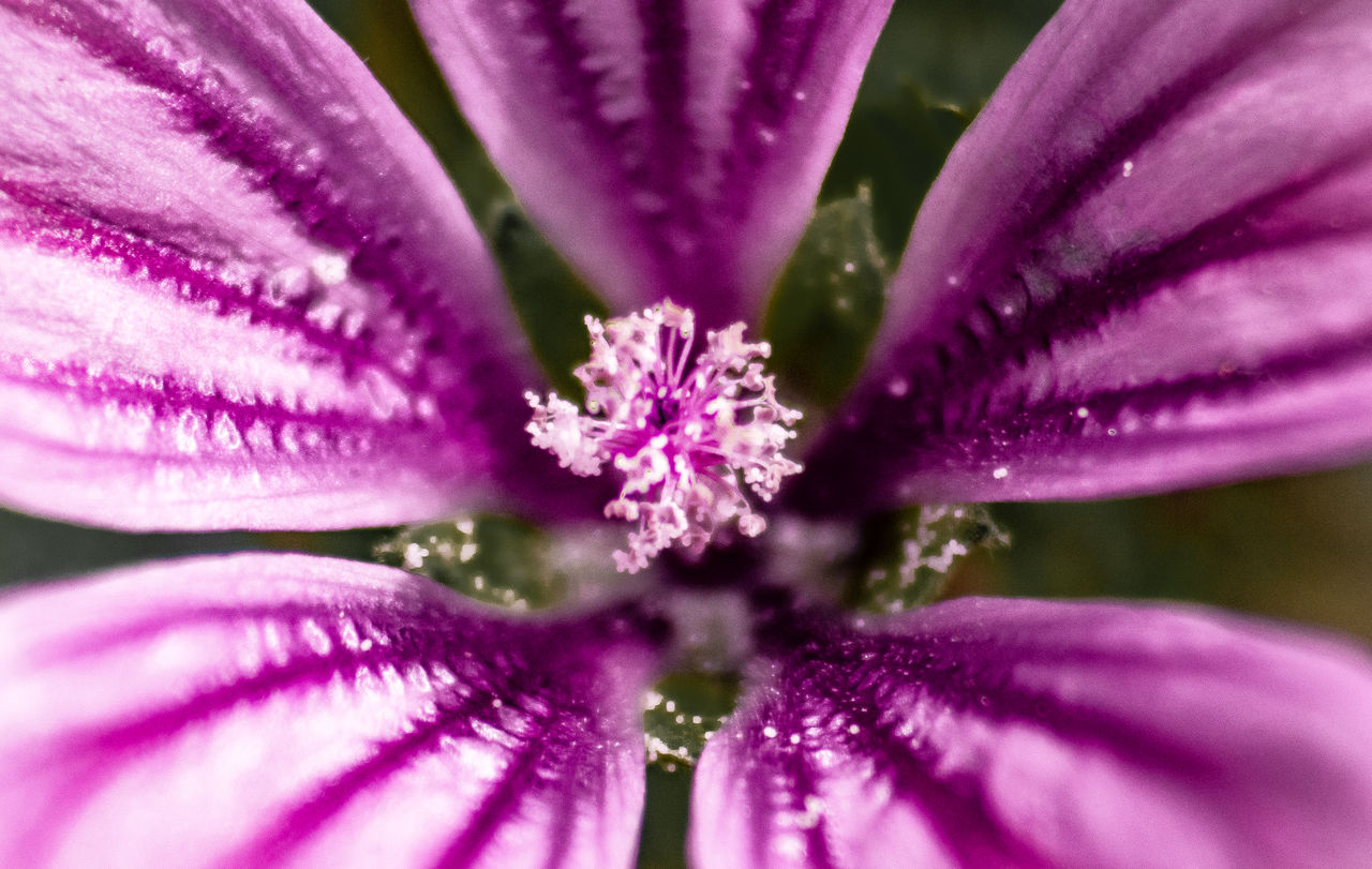 flowering plant, flower, freshness, plant, fragility, beauty in nature, vulnerability, petal, close-up, growth, purple, inflorescence, flower head, nature, no people, selective focus, pink color, pollen, day