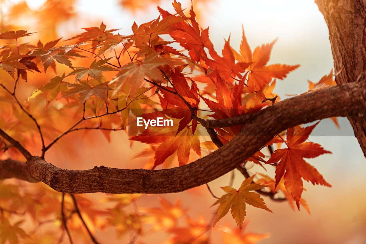 autumn, change, leaf, orange color, tree, nature, maple tree, branch, beauty in nature, maple leaf, maple, no people, outdoors, day, tranquility, close-up, growth, sky