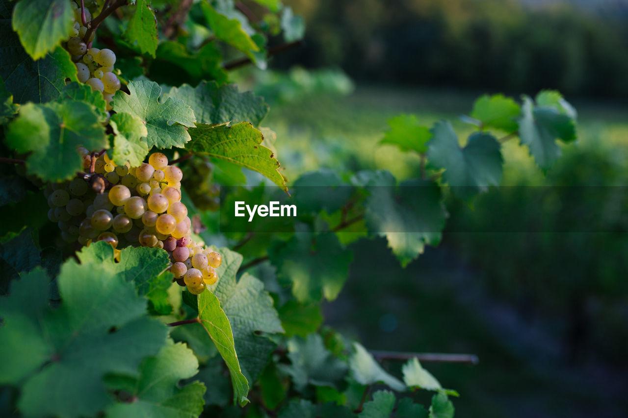 Close-up of grapes growing at vineyard