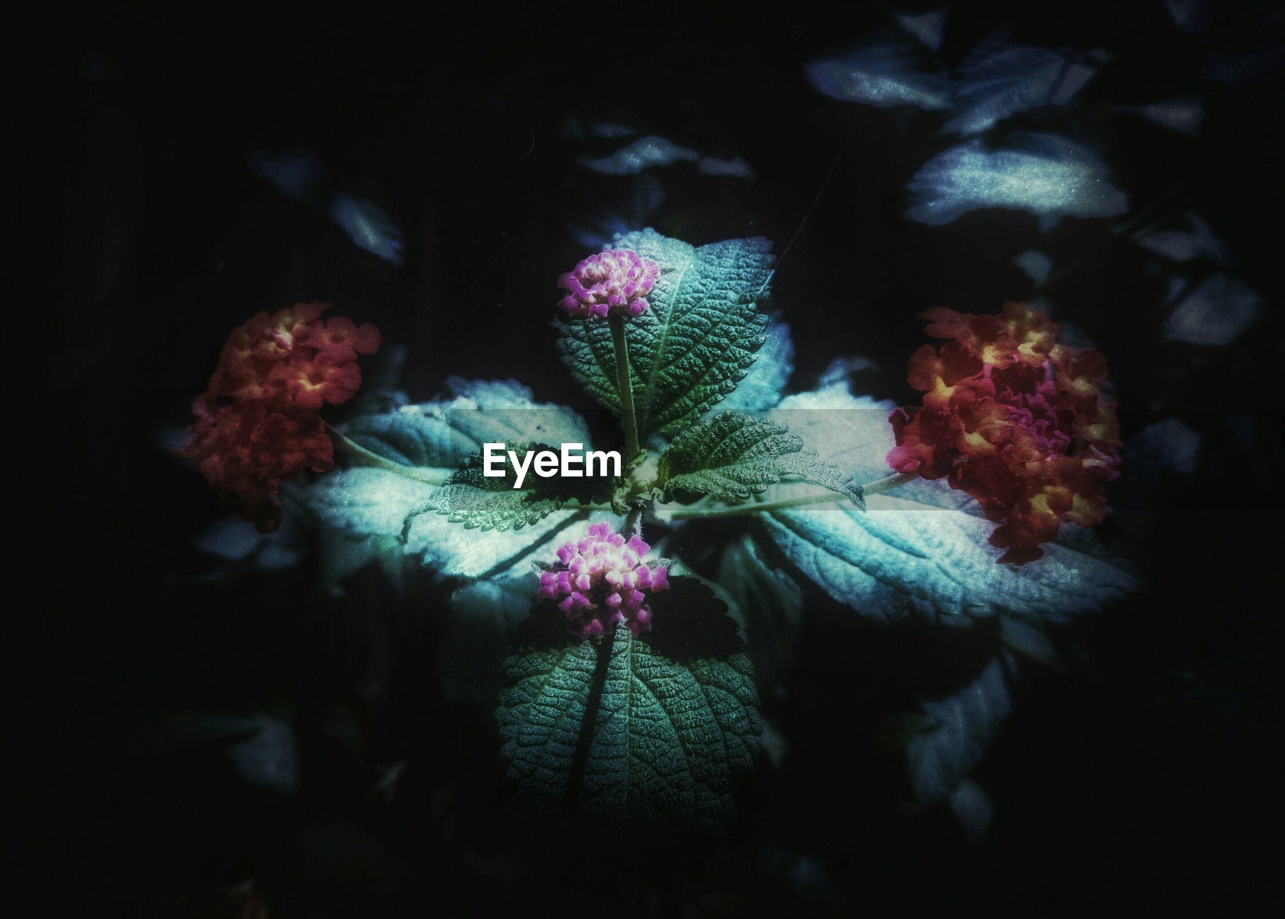 Close-up of lantana flowers
