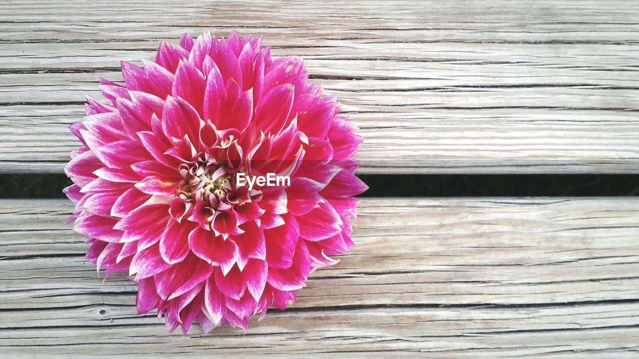 Directly Above Shot Of Pink Dahlia Flower On Wooden Plank