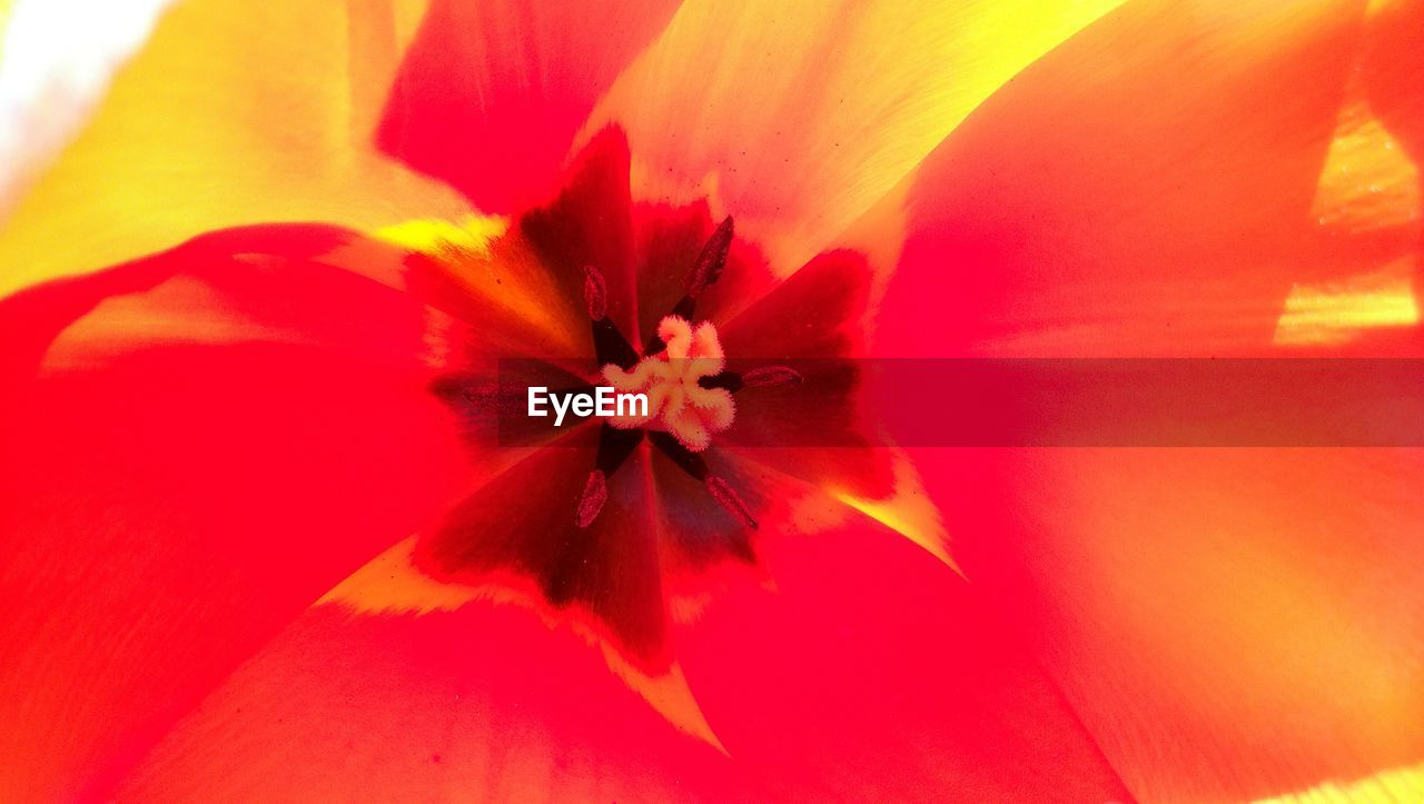 flower, petal, flower head, fragility, beauty in nature, nature, backgrounds, freshness, red, growth, full frame, vibrant color, close-up, blooming, no people, pollen, stamen, springtime, day, outdoors