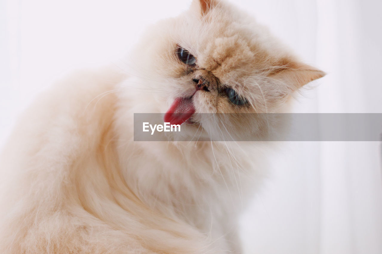domestic, pets, animal, one animal, animal themes, domestic animals, mammal, vertebrate, indoors, white color, facial expression, no people, close-up, sticking out tongue, cat, feline, studio shot, domestic cat, looking away, looking, mouth open, persian cat