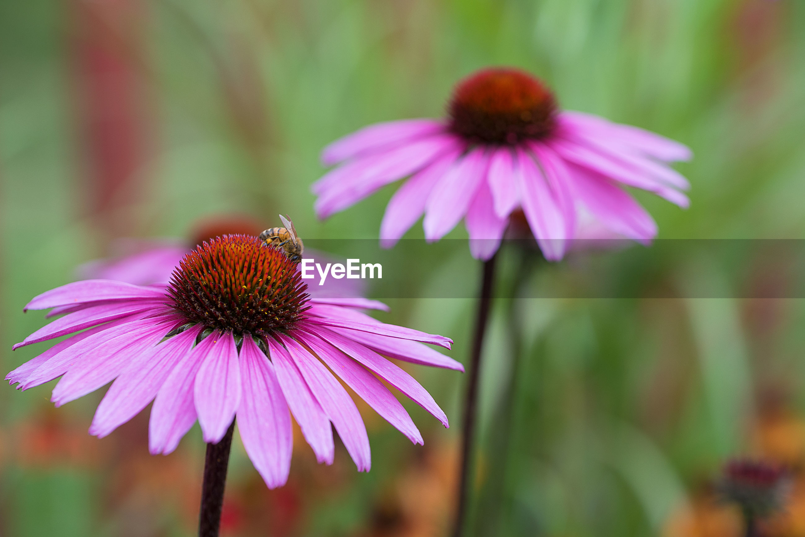 Close-up of bee pollinating on eastern purple coneflower at field
