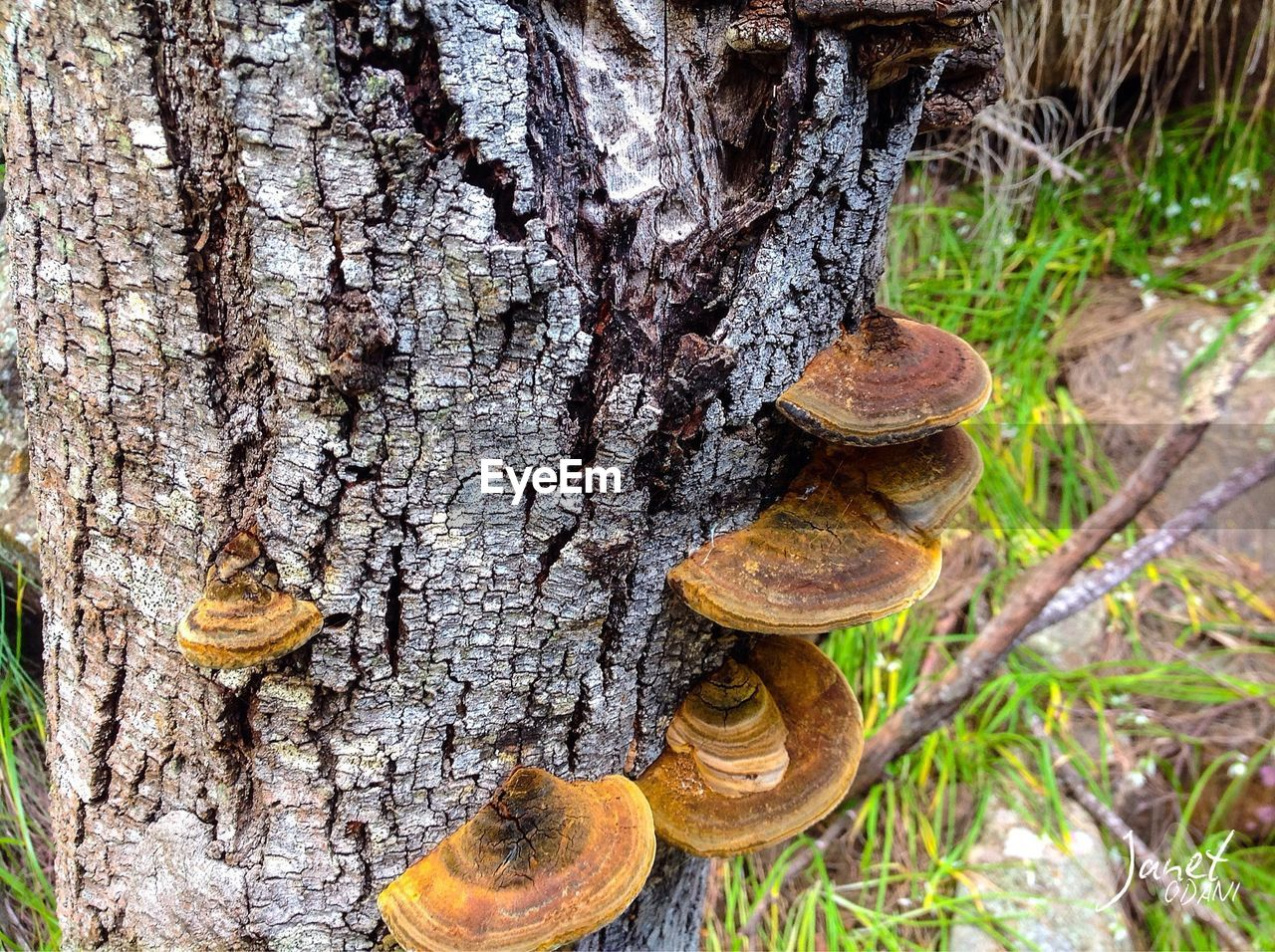 tree trunk, trunk, tree, plant, focus on foreground, close-up, no people, day, wood - material, fungus, textured, nature, growth, outdoors, forest, land, mushroom, brown, beauty in nature, natural pattern, toadstool, bark