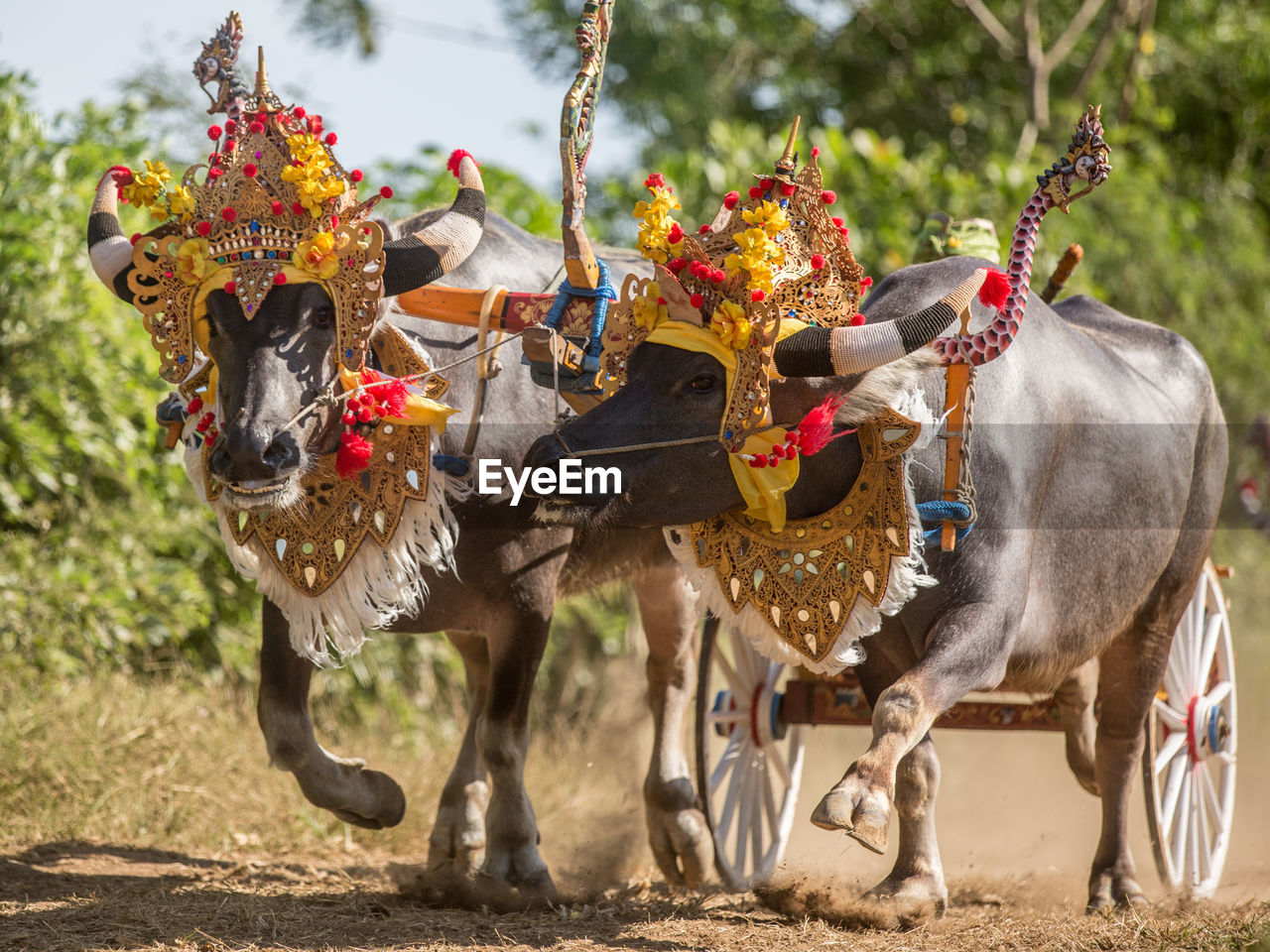 Two buffaloes at indonesian traditional race