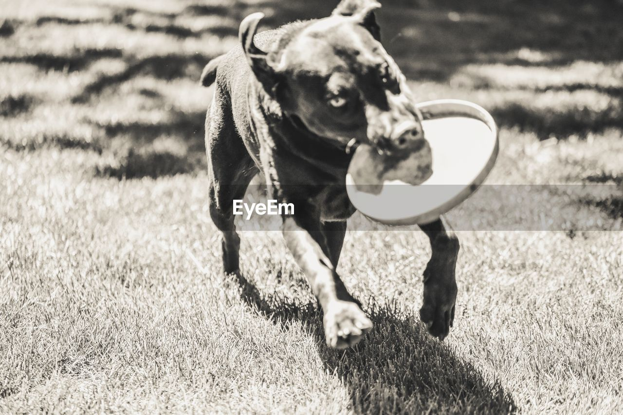 Dog running while carrying disc on field