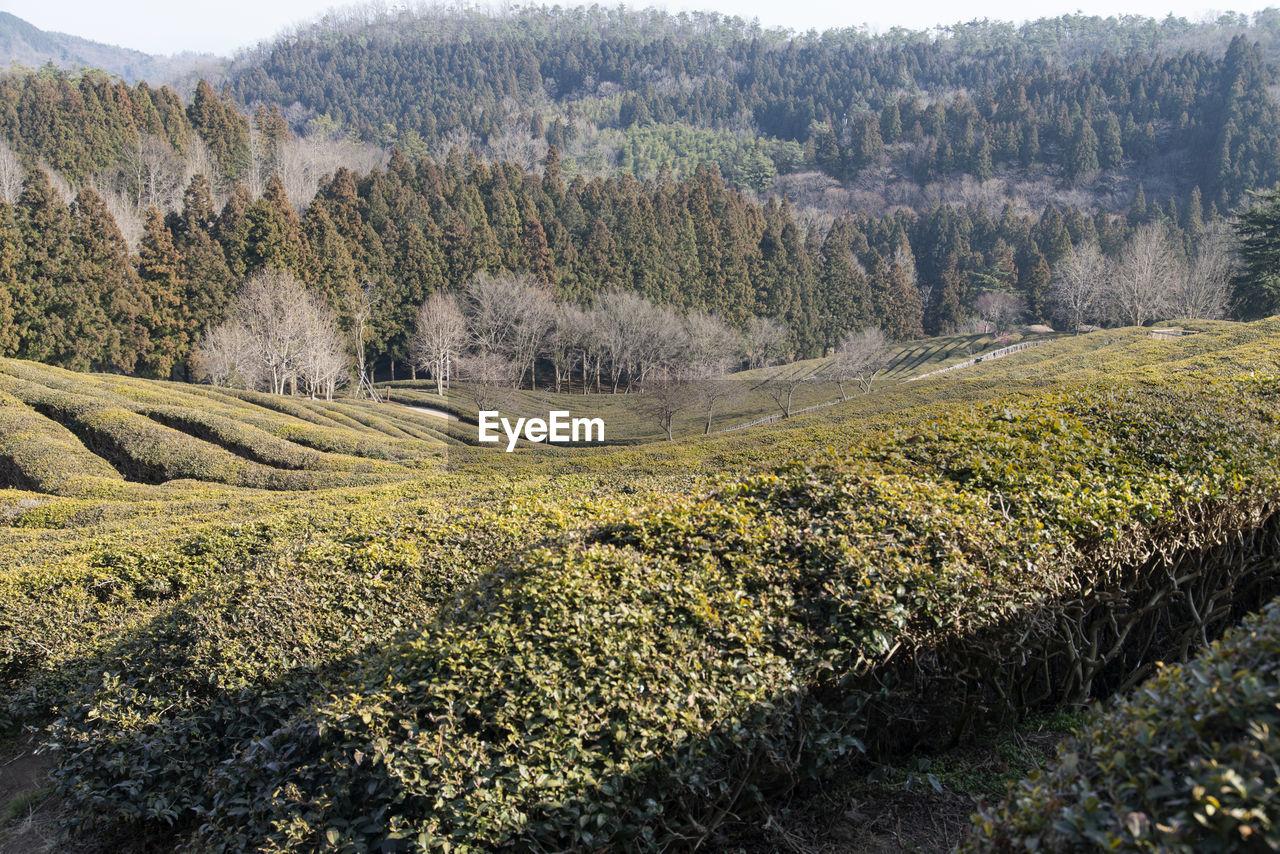 Full frame shot of green tea farm