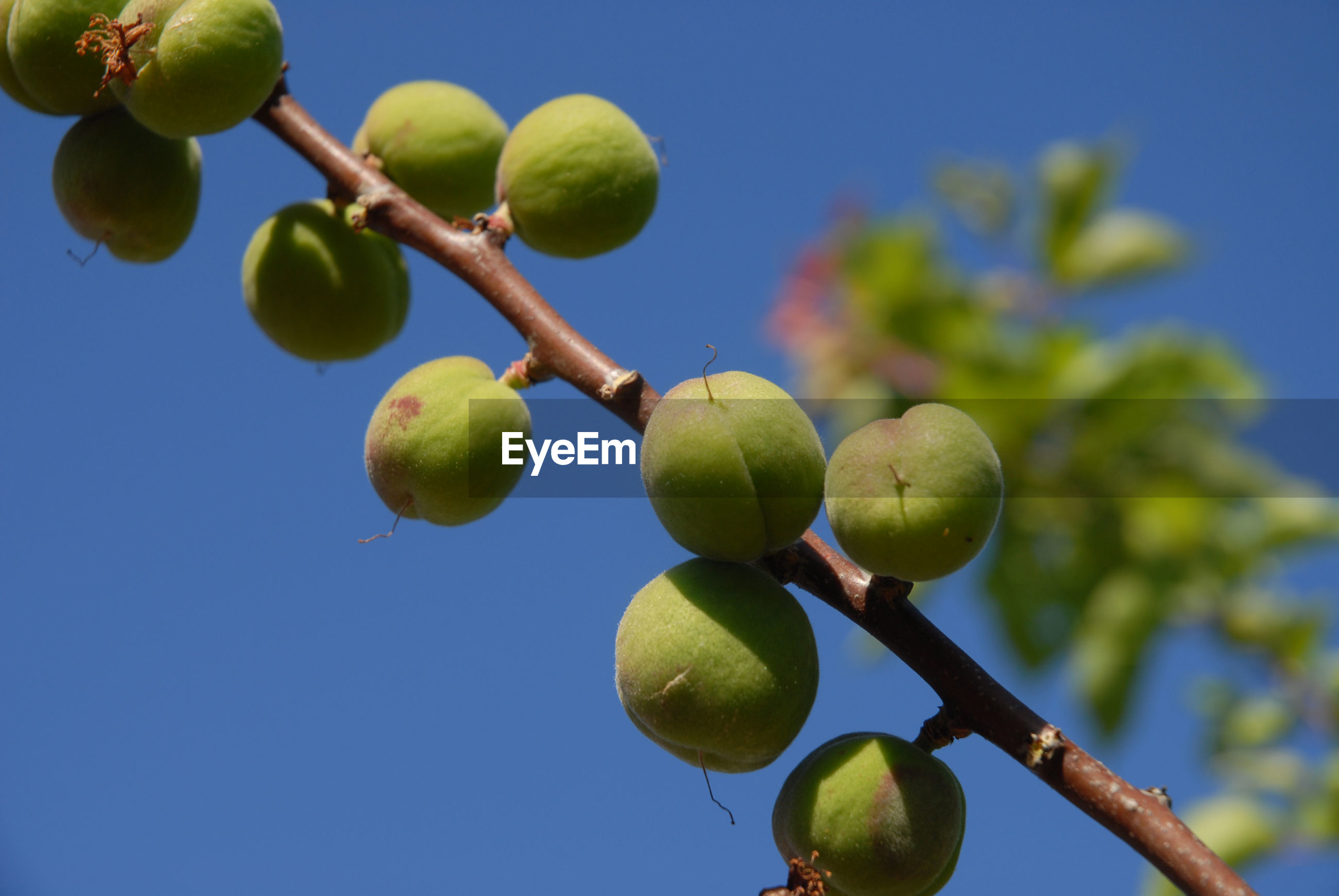 CLOSE-UP OF FRUITS GROWING ON TREE AGAINST SKY