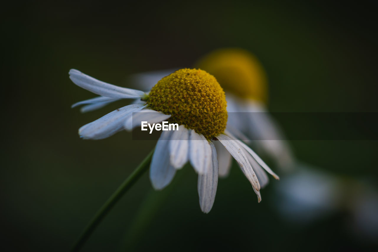 Close-Up Of White Coneflowers