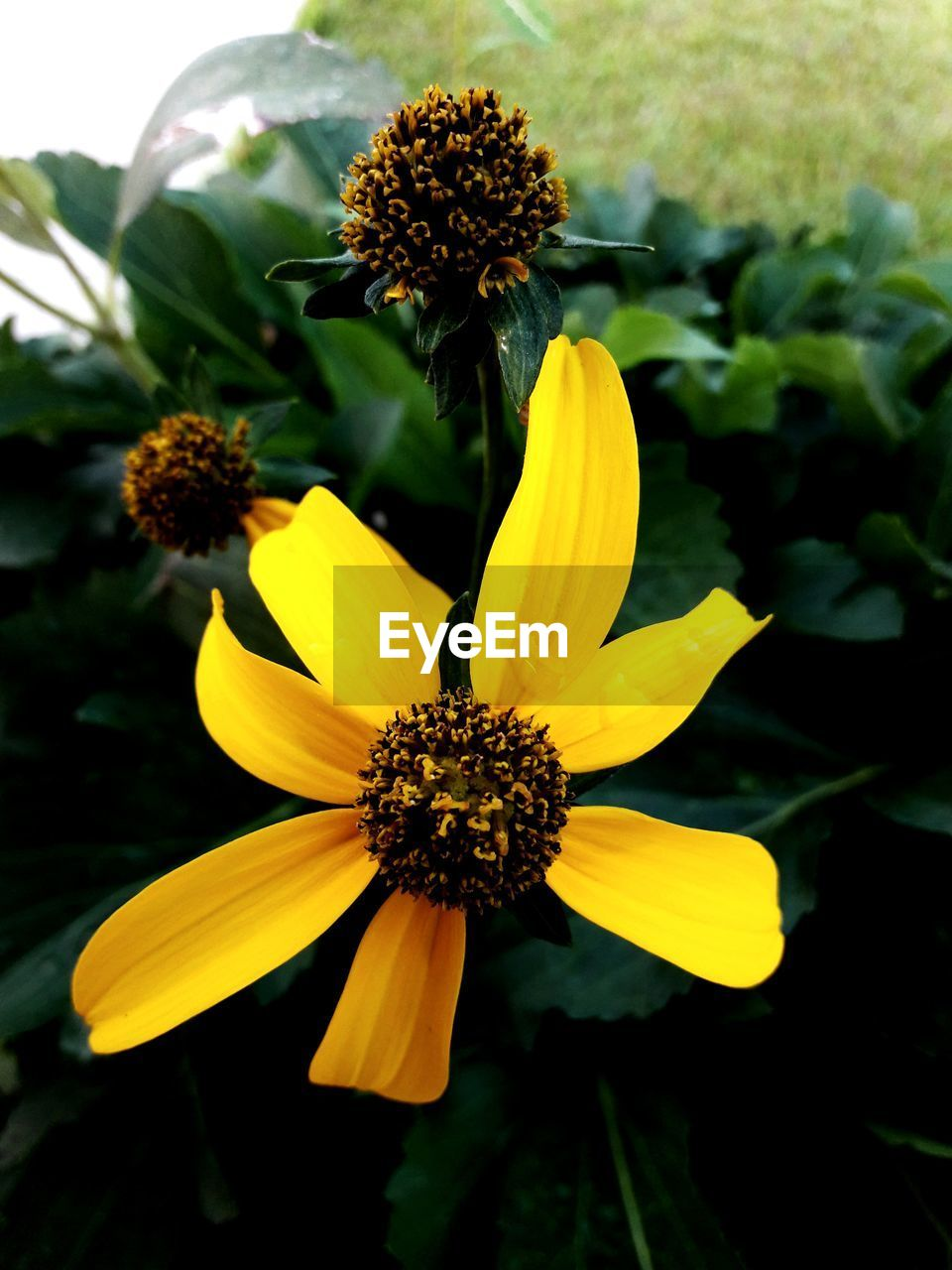 flowering plant, flower, yellow, fragility, vulnerability, plant, flower head, growth, inflorescence, freshness, beauty in nature, petal, close-up, pollen, focus on foreground, nature, no people, coneflower, day, outdoors, gazania