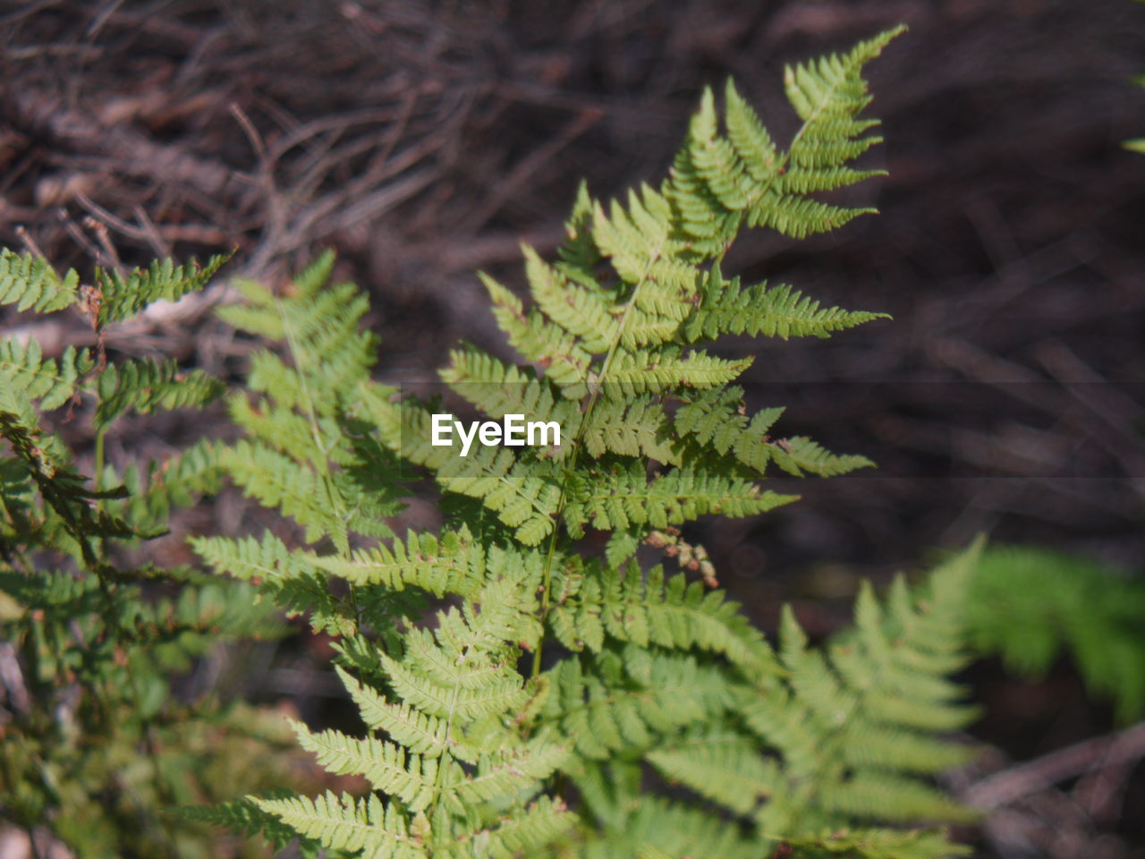 plant, growth, green color, leaf, plant part, close-up, nature, selective focus, day, no people, beauty in nature, tree, focus on foreground, branch, outdoors, tranquility, land, high angle view, fern, sunlight, pine tree, coniferous tree, needle - plant part, fir tree