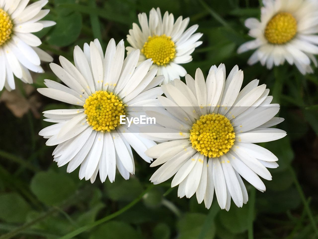 flower, flowering plant, vulnerability, fragility, freshness, plant, petal, growth, beauty in nature, flower head, close-up, inflorescence, white color, yellow, pollen, daisy, focus on foreground, nature, no people, day