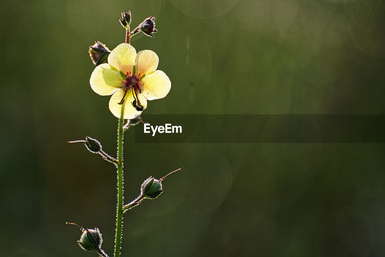 plant, flower, beauty in nature, growth, fragility, vulnerability, flowering plant, close-up, focus on foreground, freshness, nature, no people, day, green color, plant stem, petal, flower head, yellow, bud, animals in the wild, outdoors, pollination