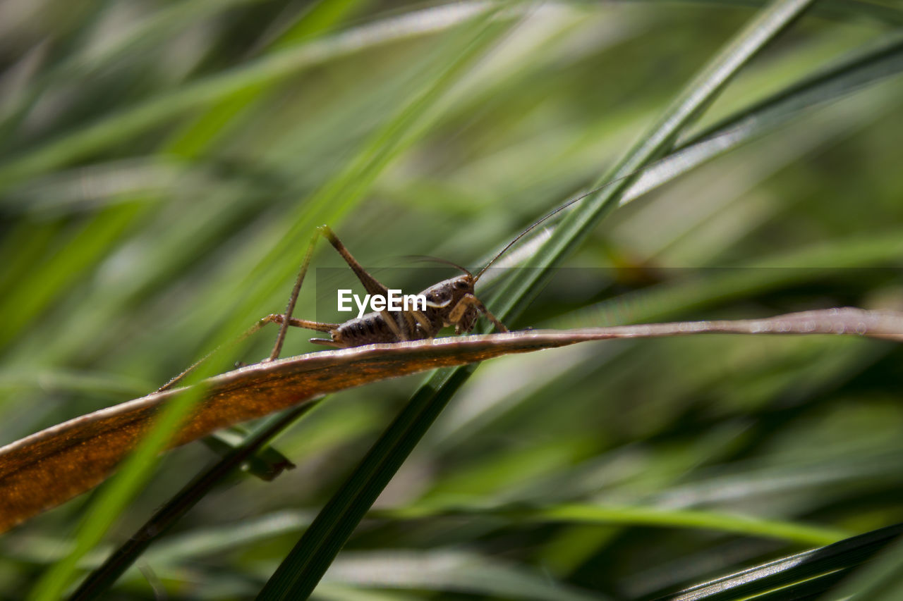 one animal, animals in the wild, animal themes, insect, green color, animal wildlife, nature, day, outdoors, plant, no people, focus on foreground, close-up, growth, grasshopper, damselfly