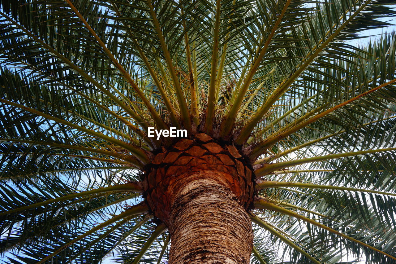 palm tree, tree, low angle view, tropical climate, trunk, tree trunk, plant, palm leaf, growth, no people, day, leaf, nature, outdoors, beauty in nature, date palm tree, sky, tranquility, green color, plant part, tropical tree, coconut palm tree, directly below, tree canopy