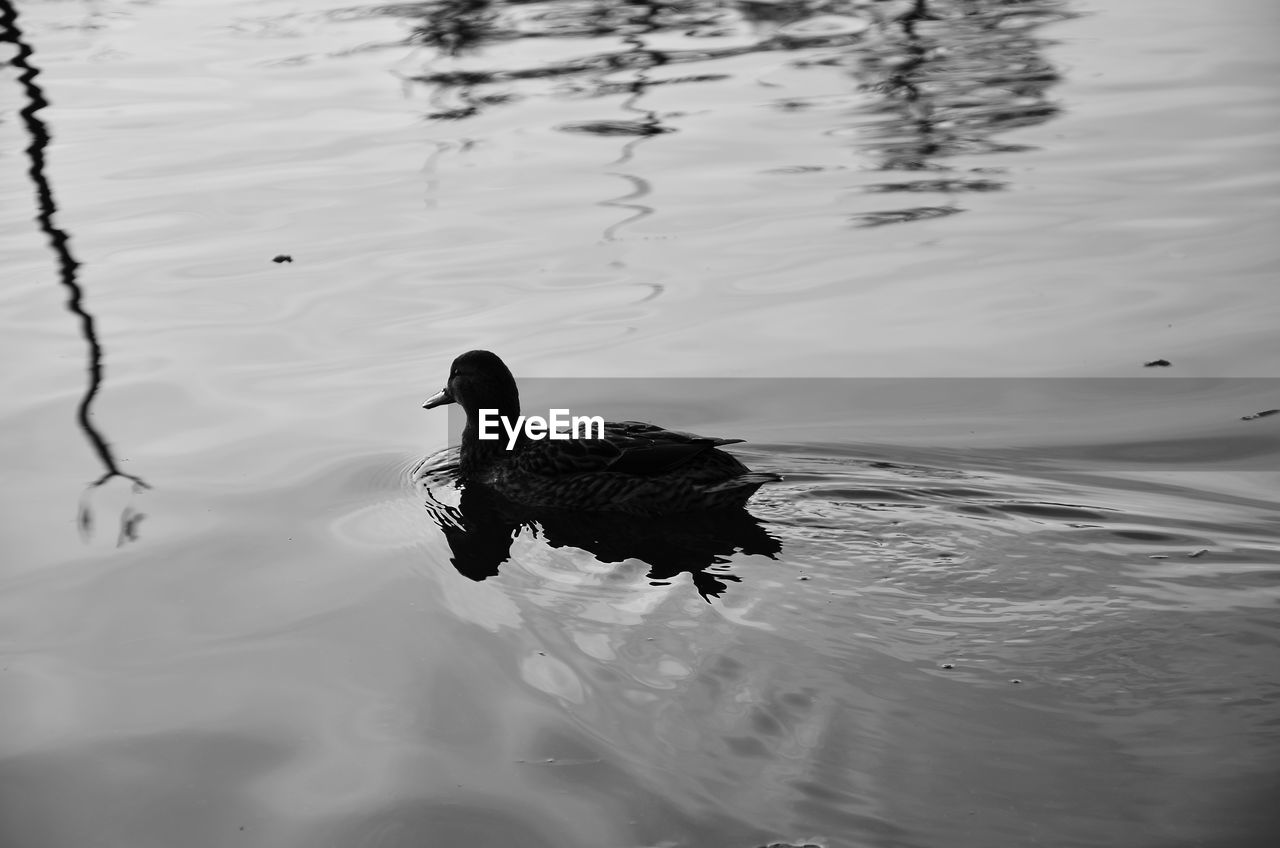 one animal, reflection, water, lake, animal themes, animals in the wild, bird, waterfront, swimming, animal wildlife, nature, water bird, duck, no people, outdoors, day, beauty in nature, black swan