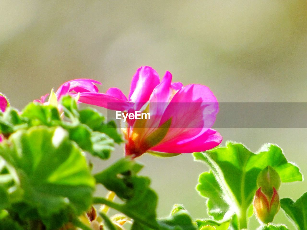 flower, petal, nature, fragility, beauty in nature, growth, freshness, plant, flower head, pink color, blooming, no people, green color, leaf, close-up, outdoors, day
