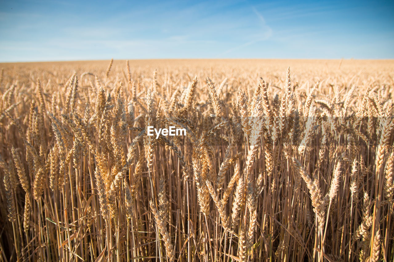 Close-Up Of Wheat Field Against Clear Sky