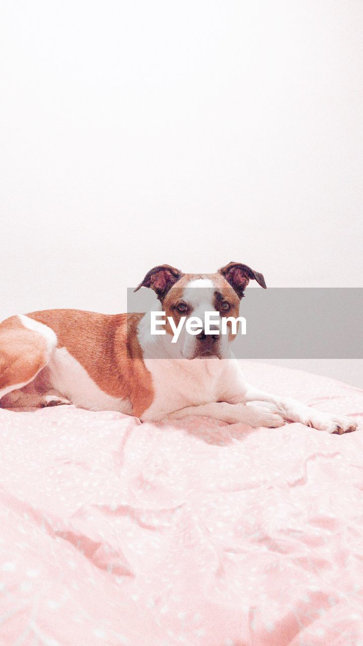 pets, domestic, domestic animals, canine, dog, one animal, mammal, vertebrate, portrait, furniture, relaxation, indoors, looking at camera, bed, copy space, resting, no people, jack russell terrier