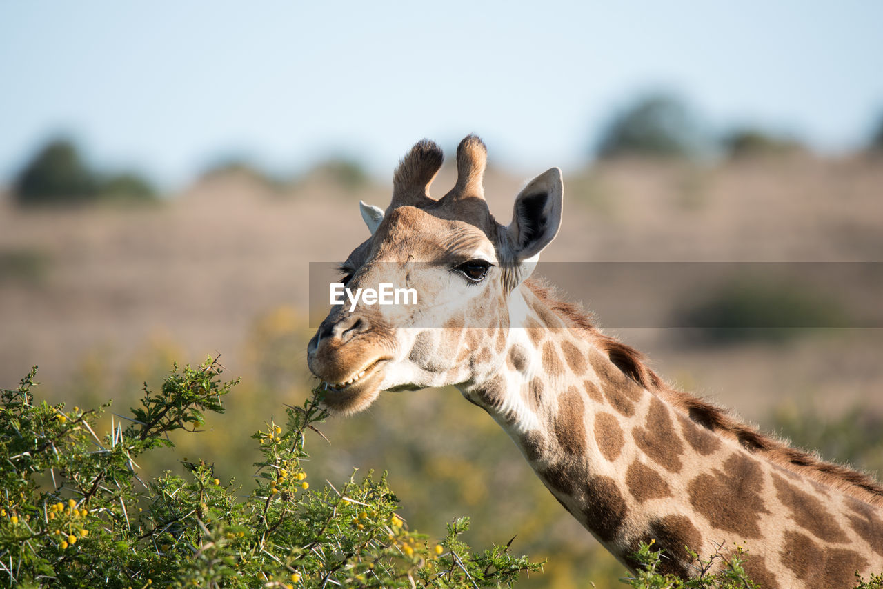 Close-Up Of Giraffe Eating From Plant