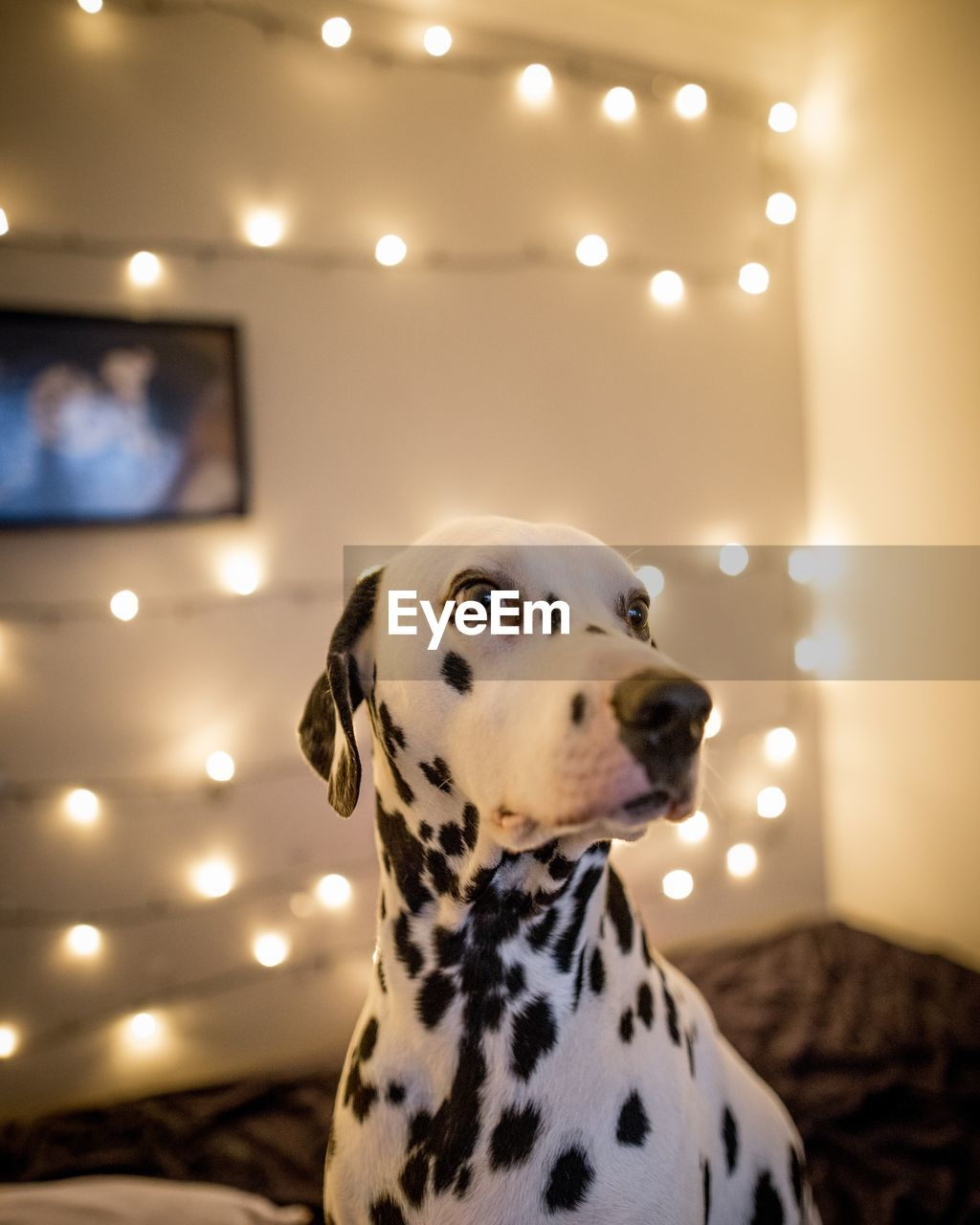 Close-Up Of Dalmatian Dog At Home