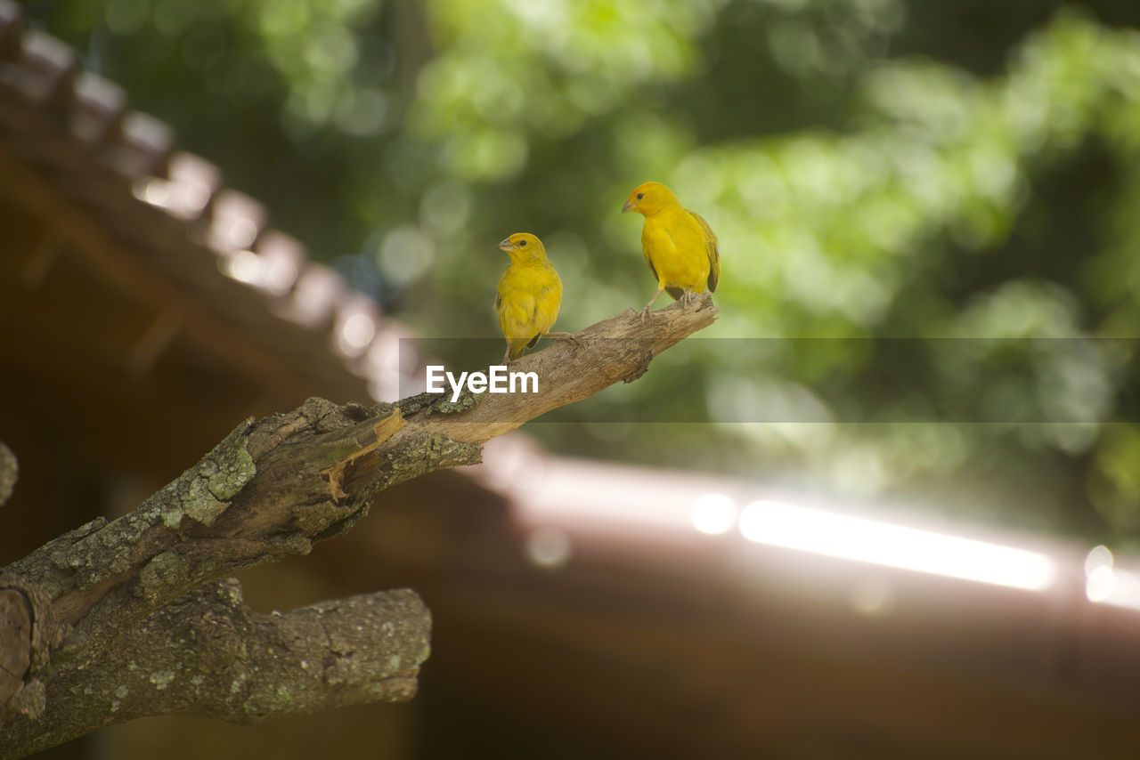 bird, vertebrate, animal themes, animal, yellow, perching, animals in the wild, animal wildlife, day, no people, nature, tree, branch, focus on foreground, plant, parrot, outdoors, two animals, low angle view, close-up