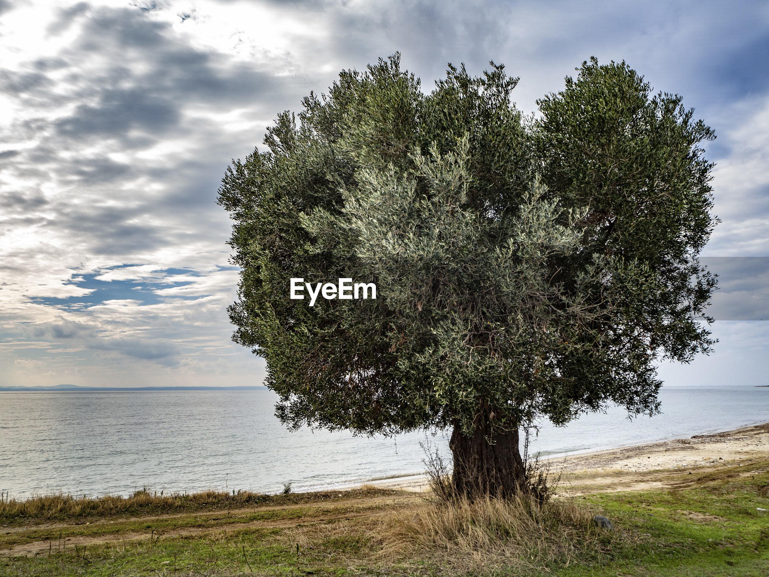 TREES ON FIELD AGAINST SEA