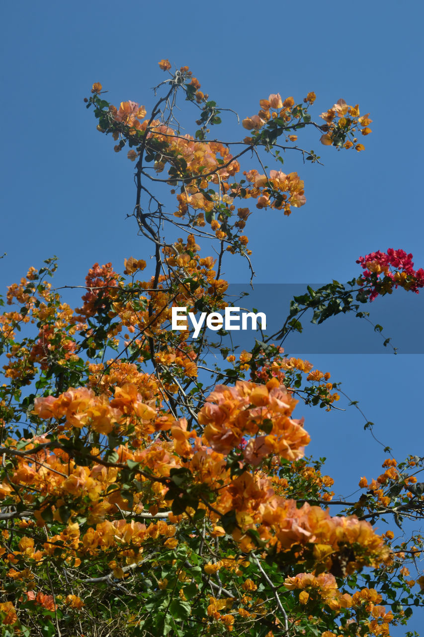 growth, flower, tree, low angle view, clear sky, beauty in nature, blue, nature, no people, branch, day, outdoors, sky, freshness, fragility, plant, springtime, close-up