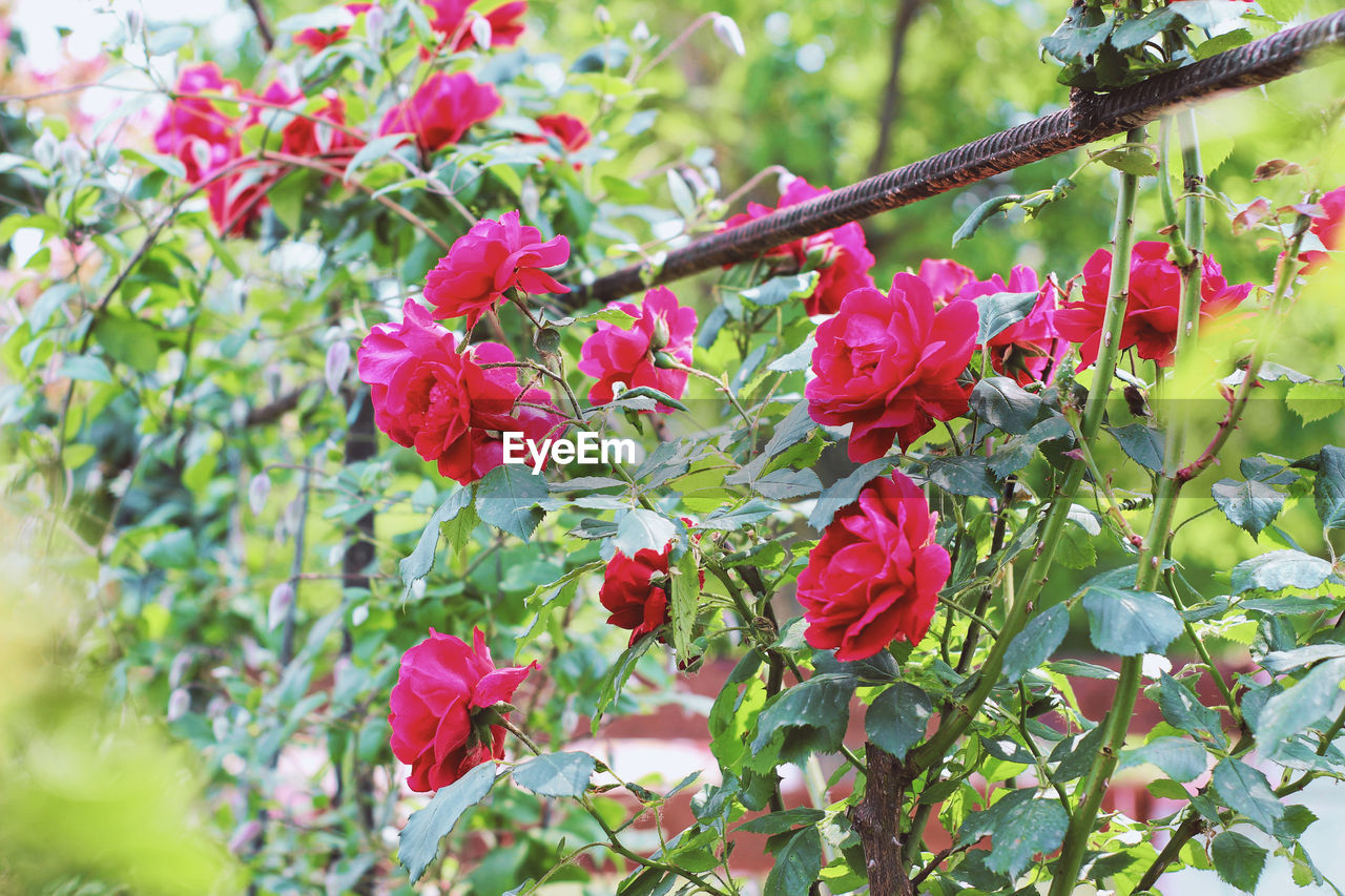 Nature Beauty In Nature Branch Close-up Day Flower Flower Head Flowering Plant Food Fragility Freshness Garden Garden Photography Green Color Growth Leaf Nature Nature_collection No People Plant Plant Part Red Selective Focus Tree Vulnerability