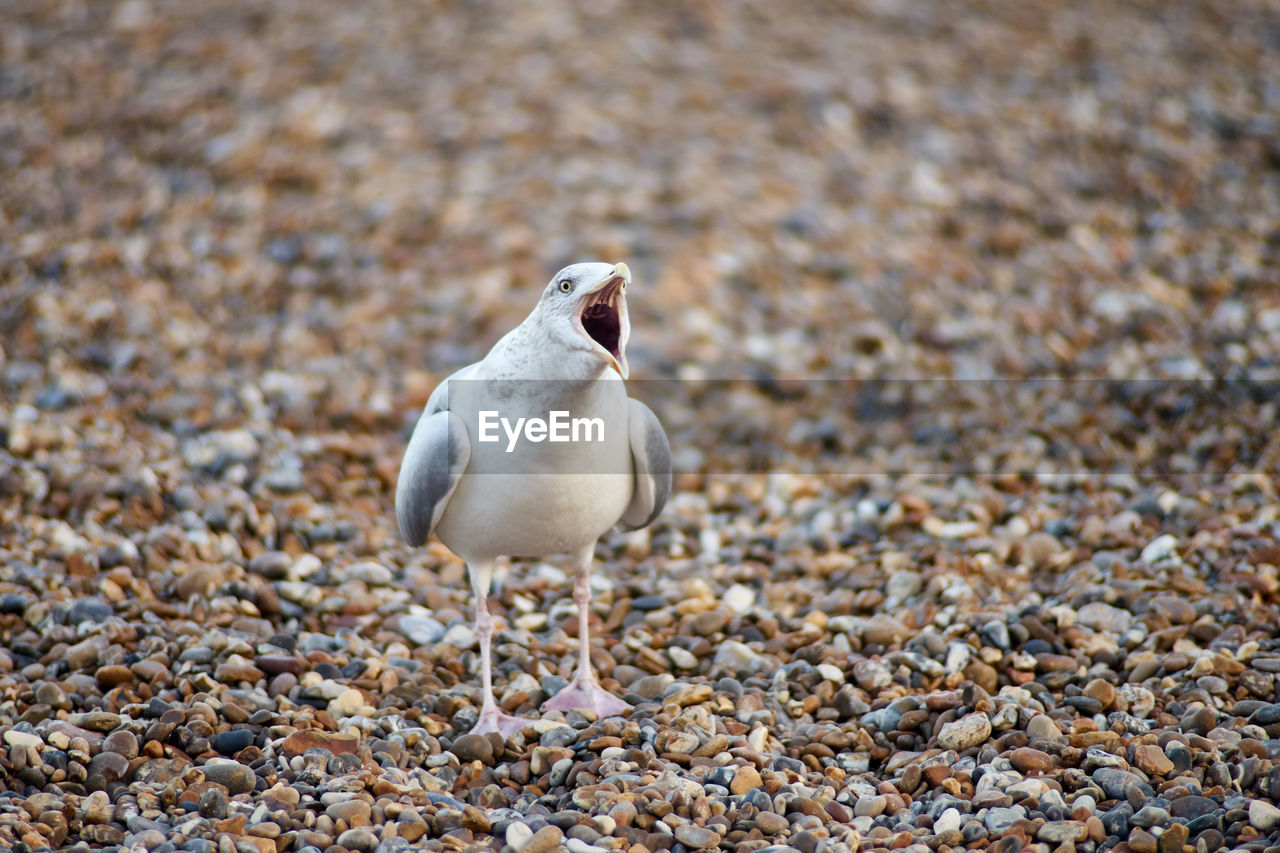 bird, animal, animal themes, animal wildlife, animals in the wild, one animal, vertebrate, land, day, no people, solid, beach, focus on foreground, rock, nature, pebble, stone - object, outdoors, stone, close-up, seagull
