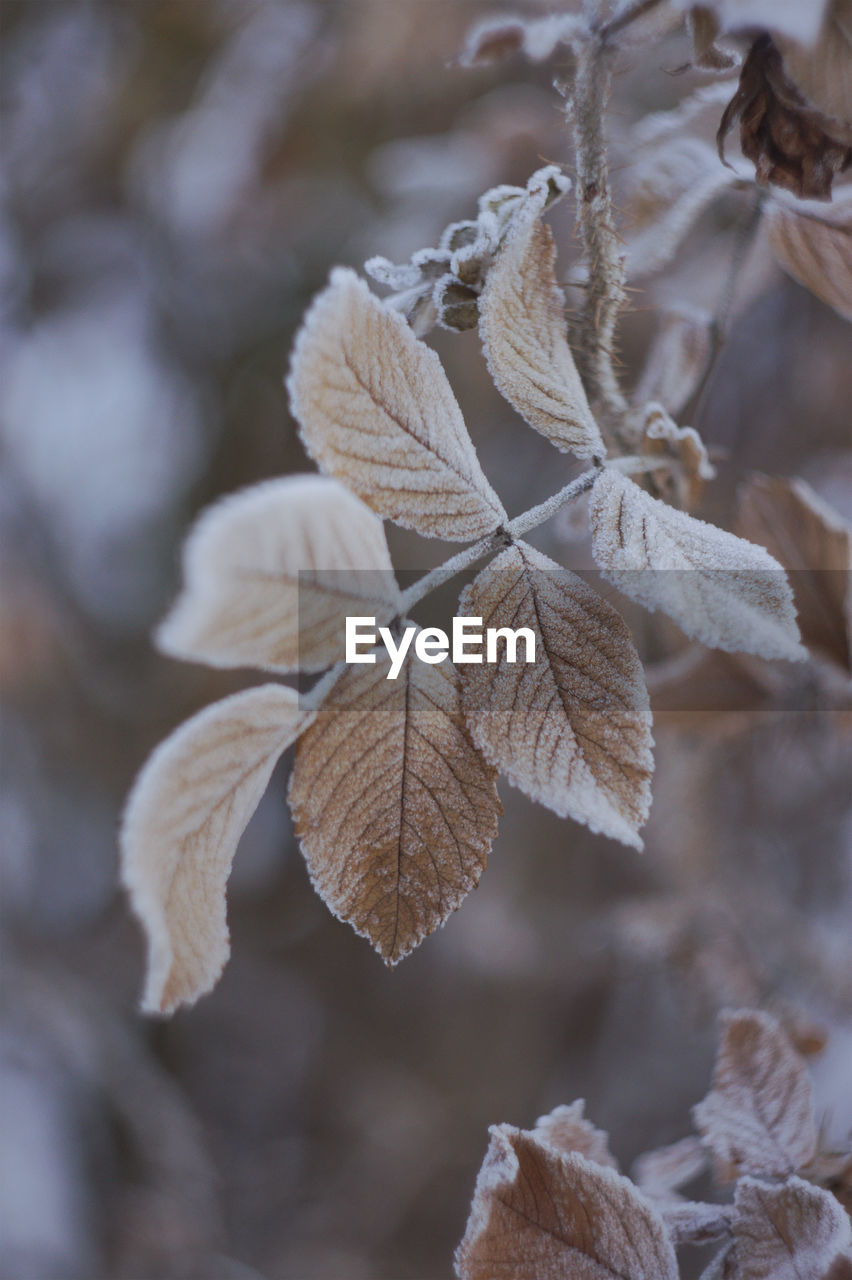 leaf, plant part, close-up, focus on foreground, leaves, plant, no people, beauty in nature, dry, winter, cold temperature, growth, day, nature, autumn, leaf vein, fragility, vulnerability, snow, frozen, outdoors, change, dried, natural condition