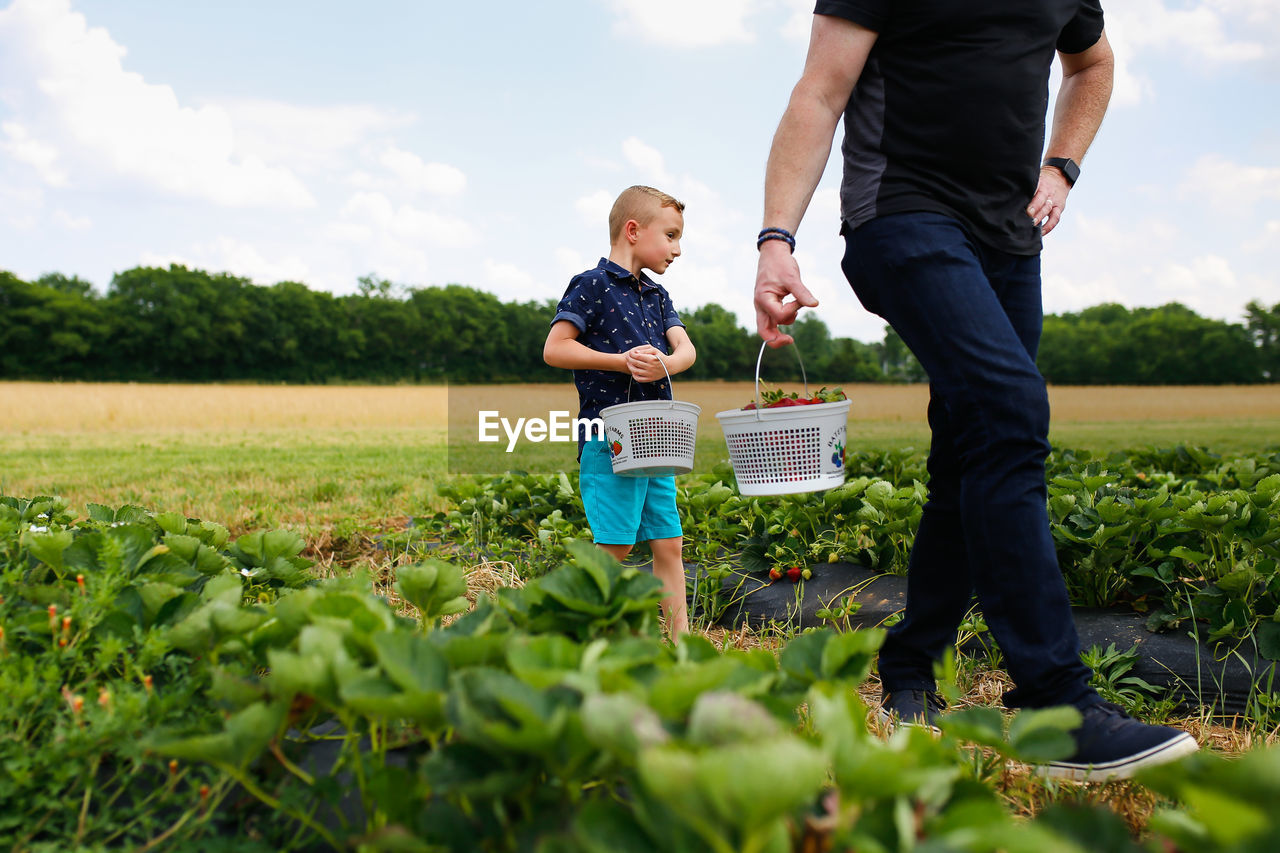 Father and son harvesting strawberries at farm