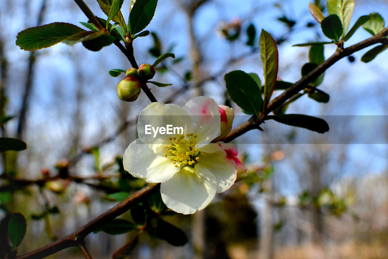 plant, flower, flowering plant, growth, tree, freshness, beauty in nature, close-up, fragility, branch, vulnerability, focus on foreground, fruit tree, petal, flower head, inflorescence, nature, twig, no people, blossom, springtime, pollen, outdoors, cherry blossom, plum blossom, cherry tree, spring