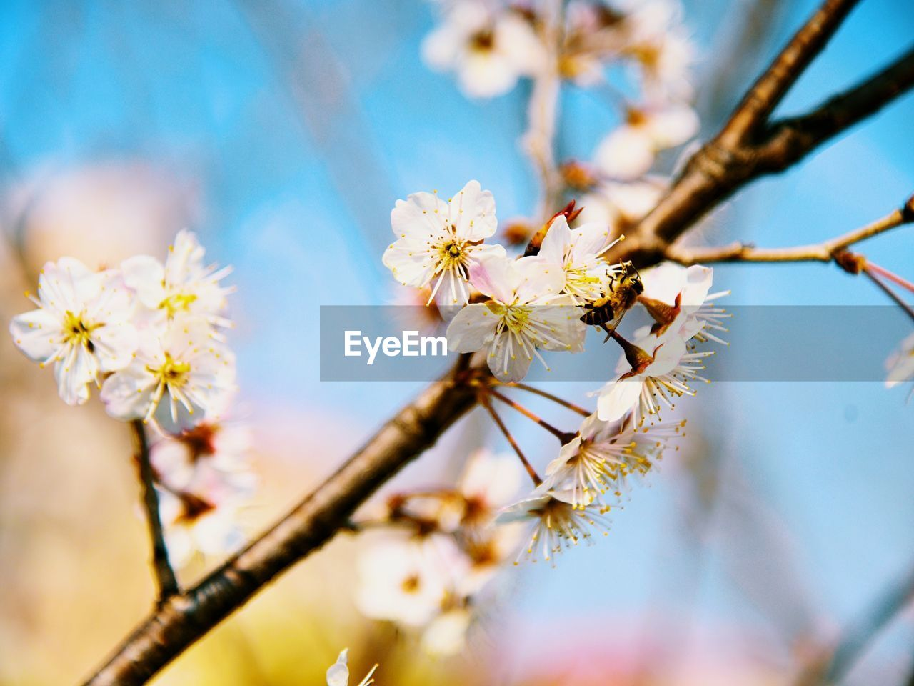flower, flowering plant, plant, fragility, vulnerability, growth, freshness, beauty in nature, close-up, tree, selective focus, branch, nature, springtime, petal, twig, no people, blossom, flower head, inflorescence, pollen, cherry blossom, outdoors, cherry tree, spring
