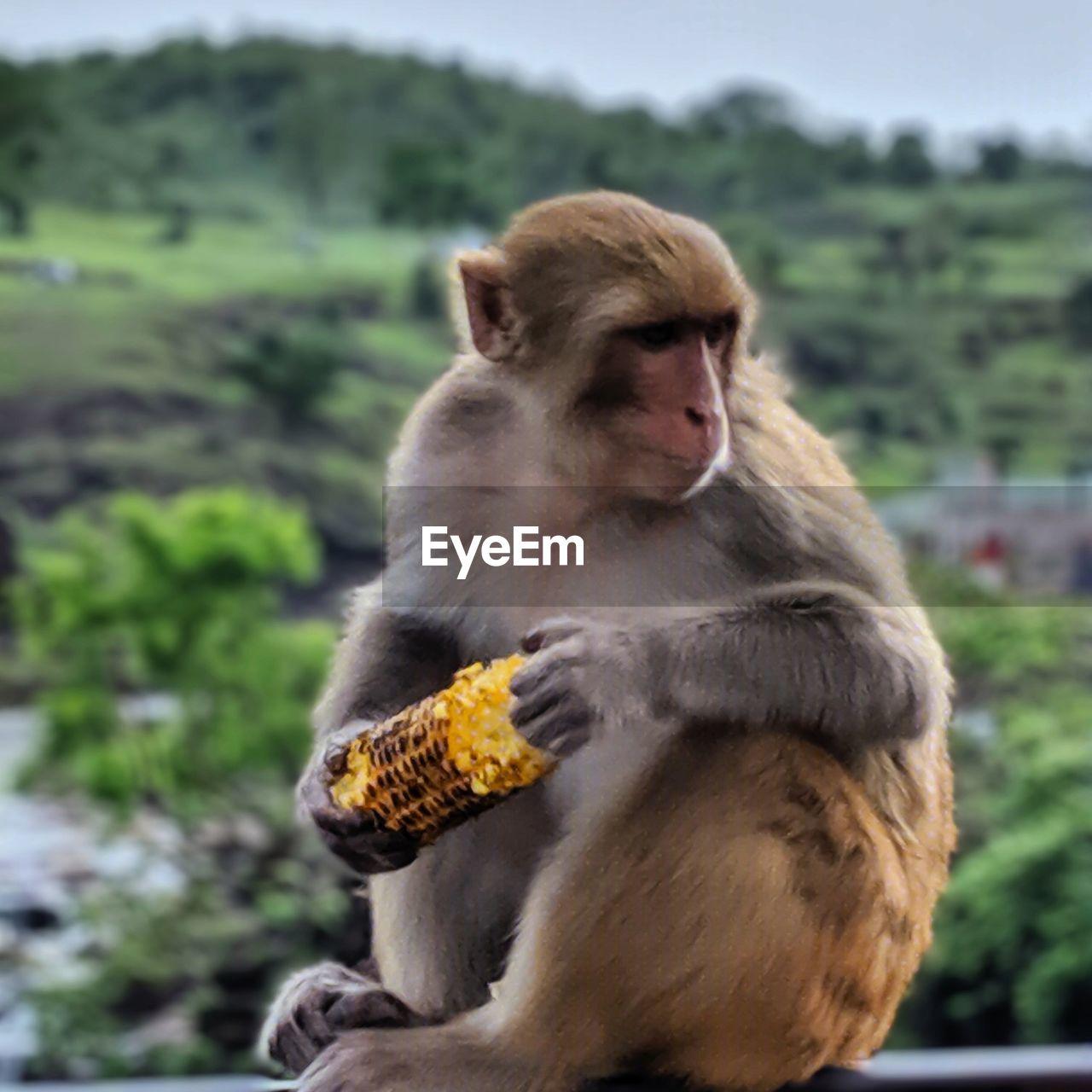 Monkey sitting on looking away